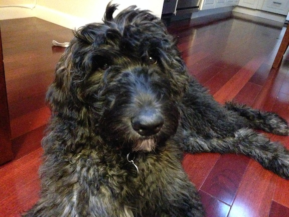 Ginger (Black goldendoodle)