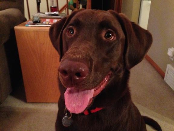 Max (Choc lab)
