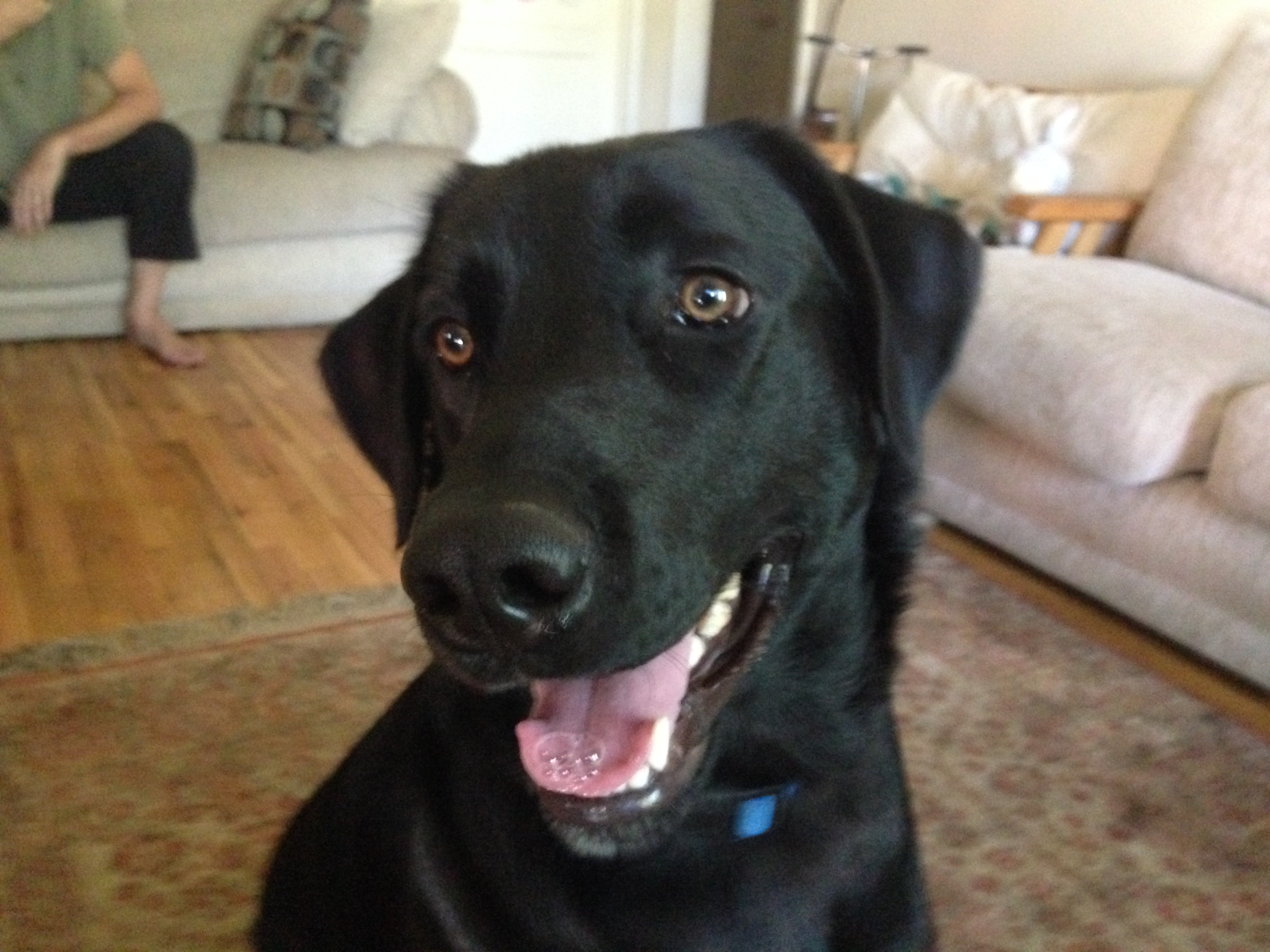 5 Year Male Labrador Cross Collie And German: Teaching An Excited Puppy To Respect His Guardians: Dog