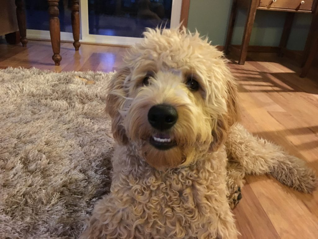 Adding Some Structure to Calm Down an Extremely High Energy Labradoodle