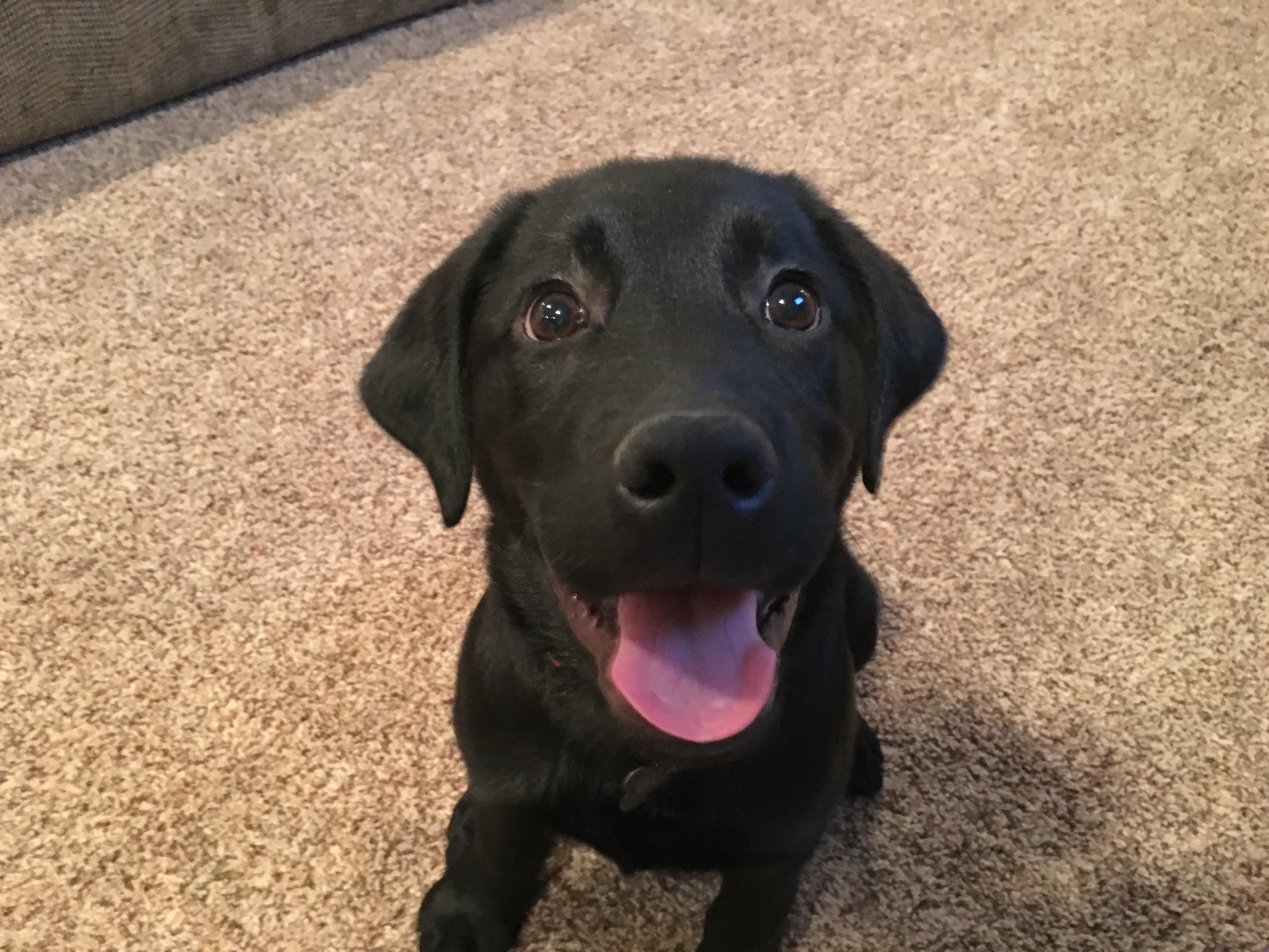 Potty Training A Black Lab Pup Named Bear Dog Gone Problems