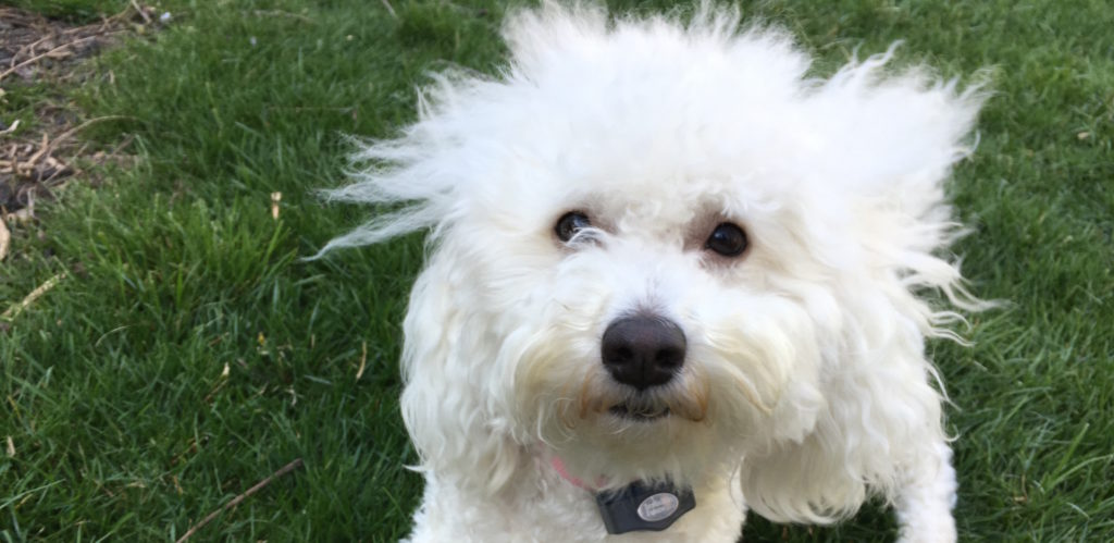 Bella Bichon Frise crop: Dog Gone Problems