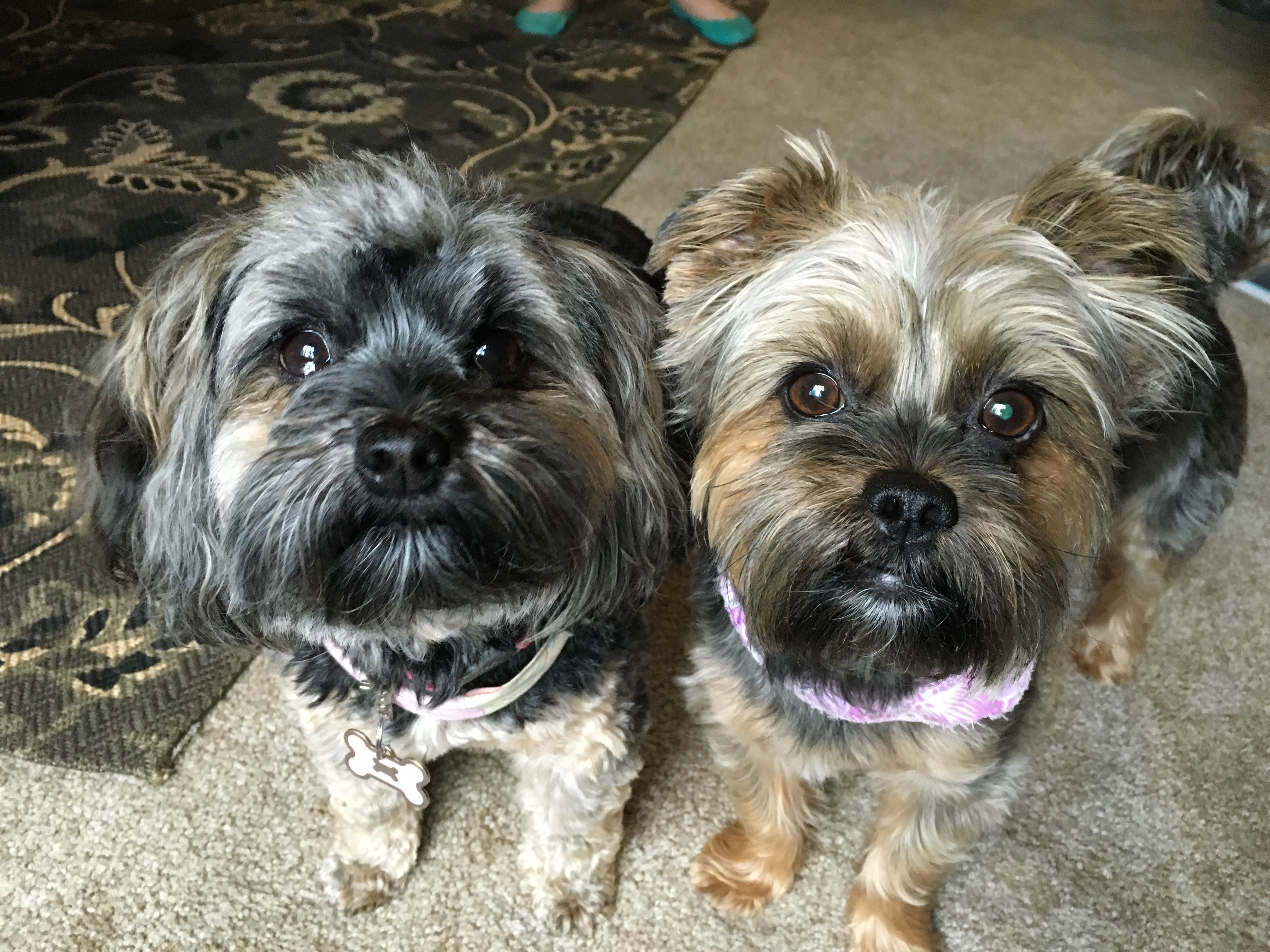 shih tzu yorkie poo mix training a pair of yorkie shih tzu mixes to see their 8641