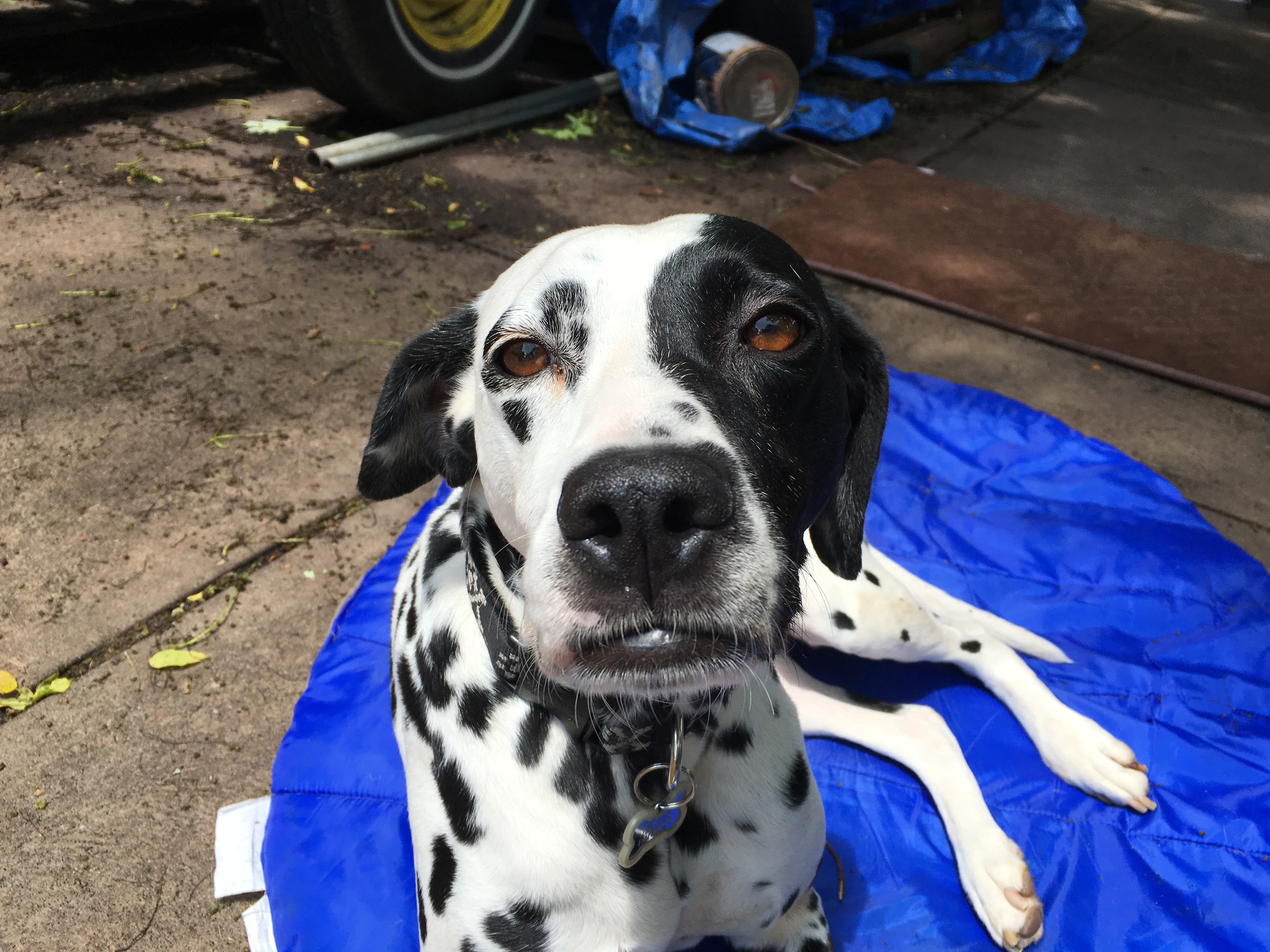 Watch How to Identify a Dalmatian video