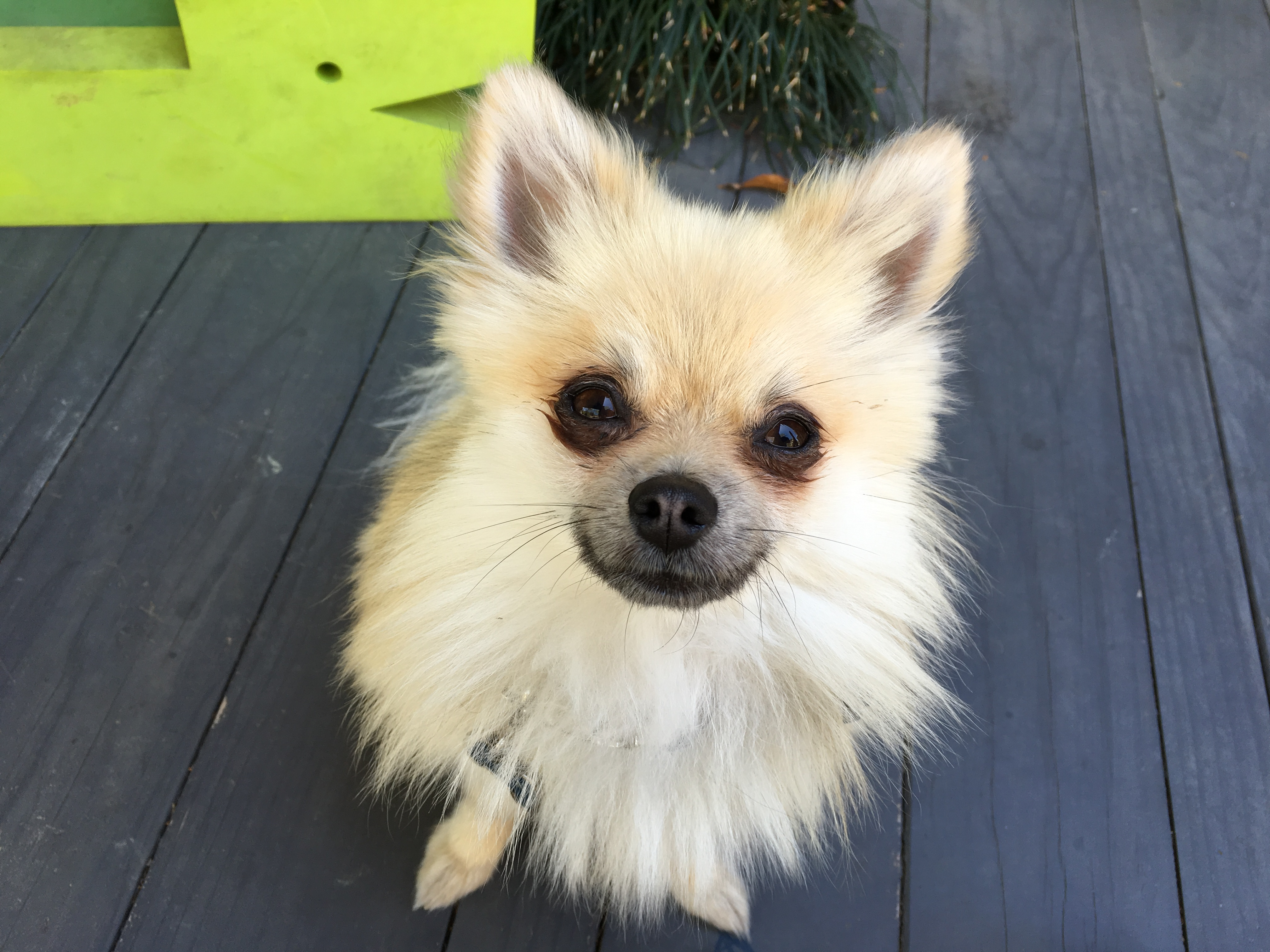 how to potty train a one year old pomeranian