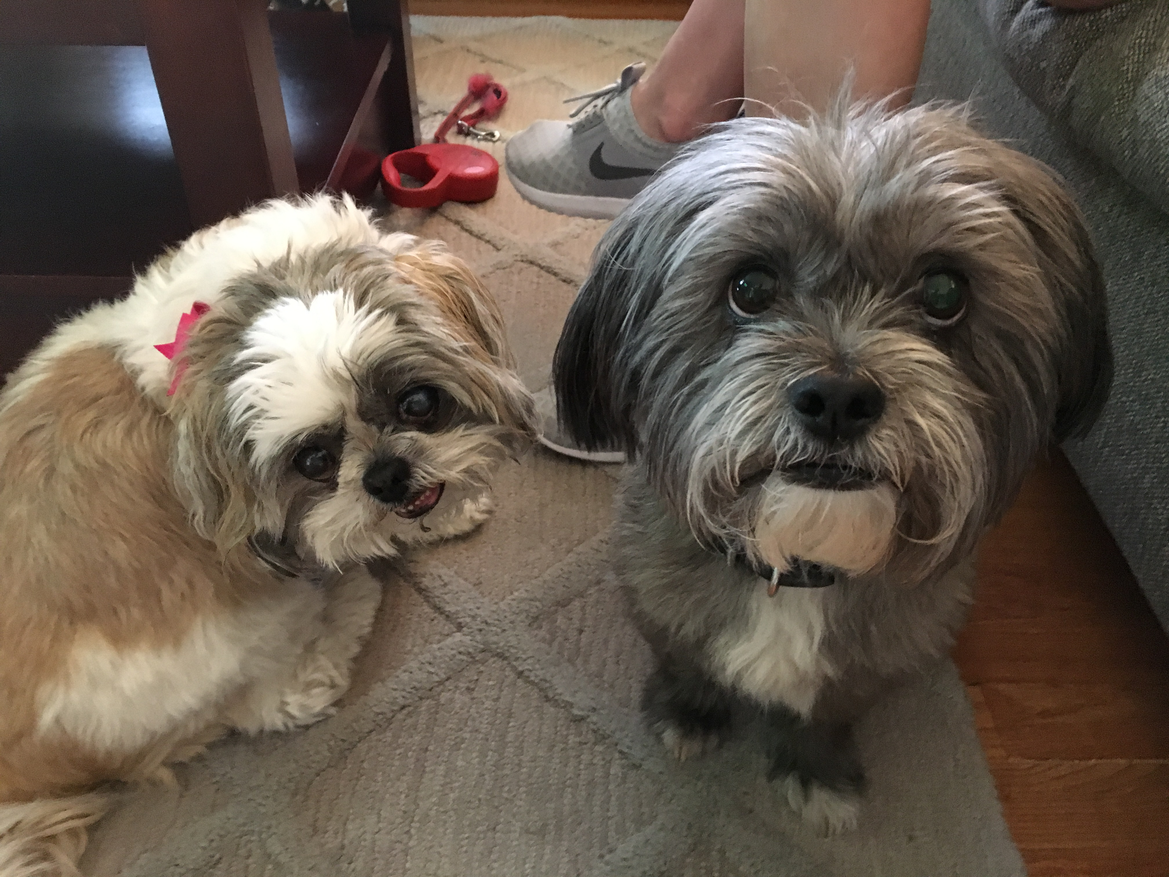Helping A Pair Of Shih Tzus Learn To Follow Their Guardians Lead
