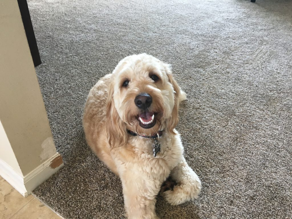 Gus F1 Goldendoodle
