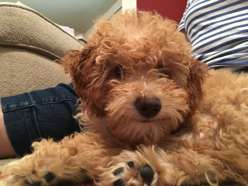 Jess (Mini Goldendoodle)