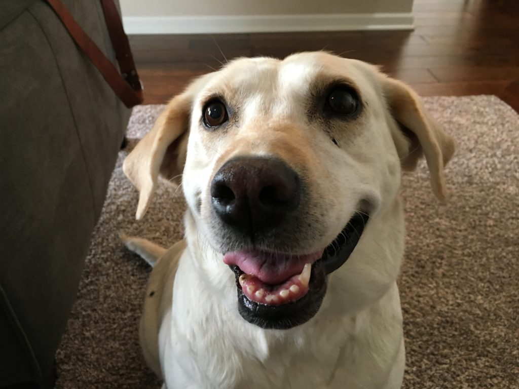 Lola (Yellow Lab)
