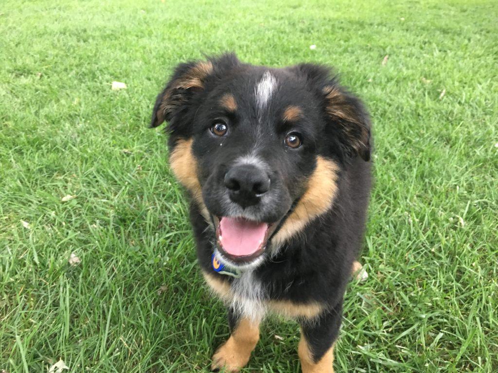 Buck (Australian SHep Pup)