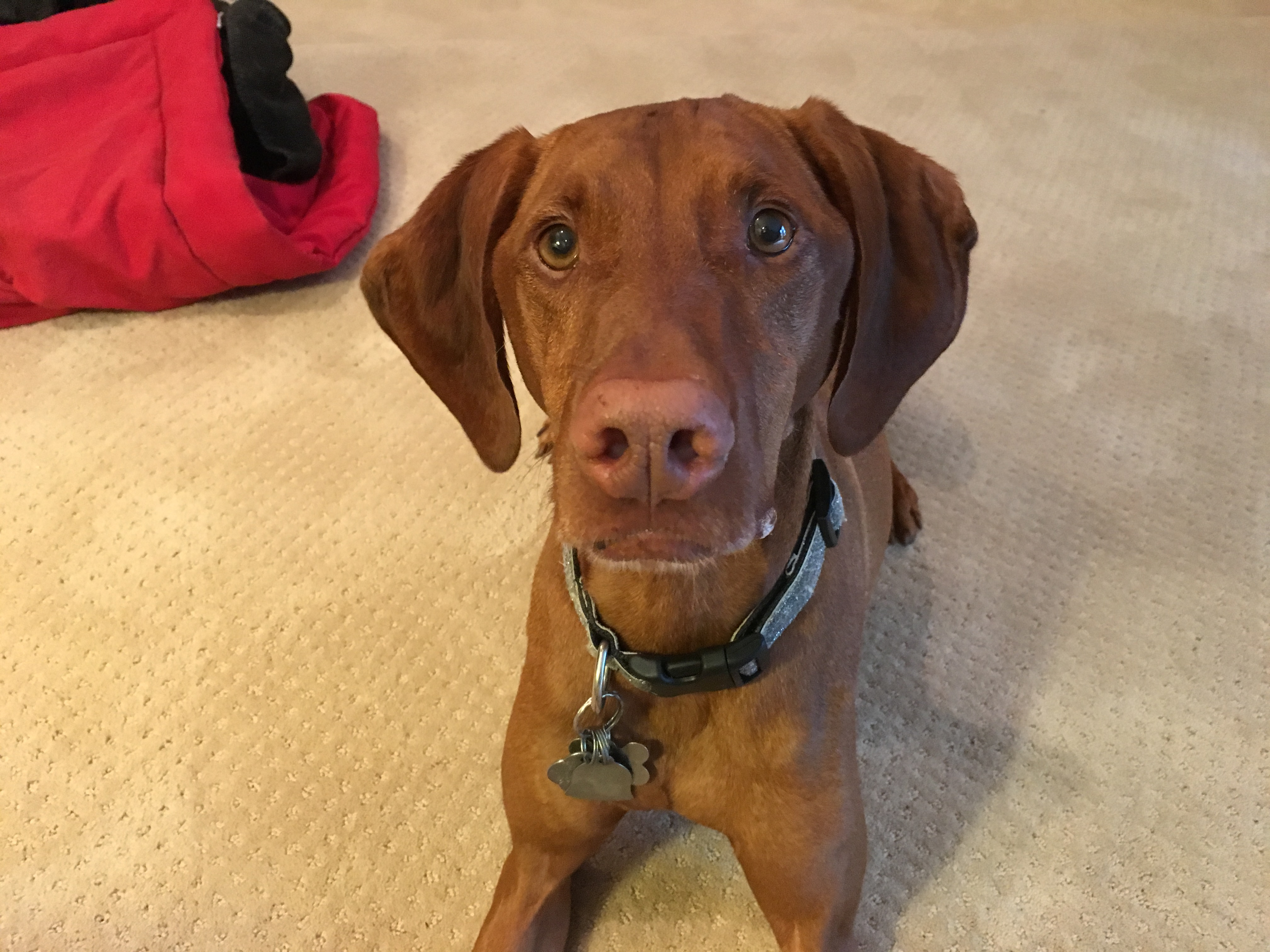 Stopping A Vizsla From Resource Guarding Her Kennel Or Food Dog