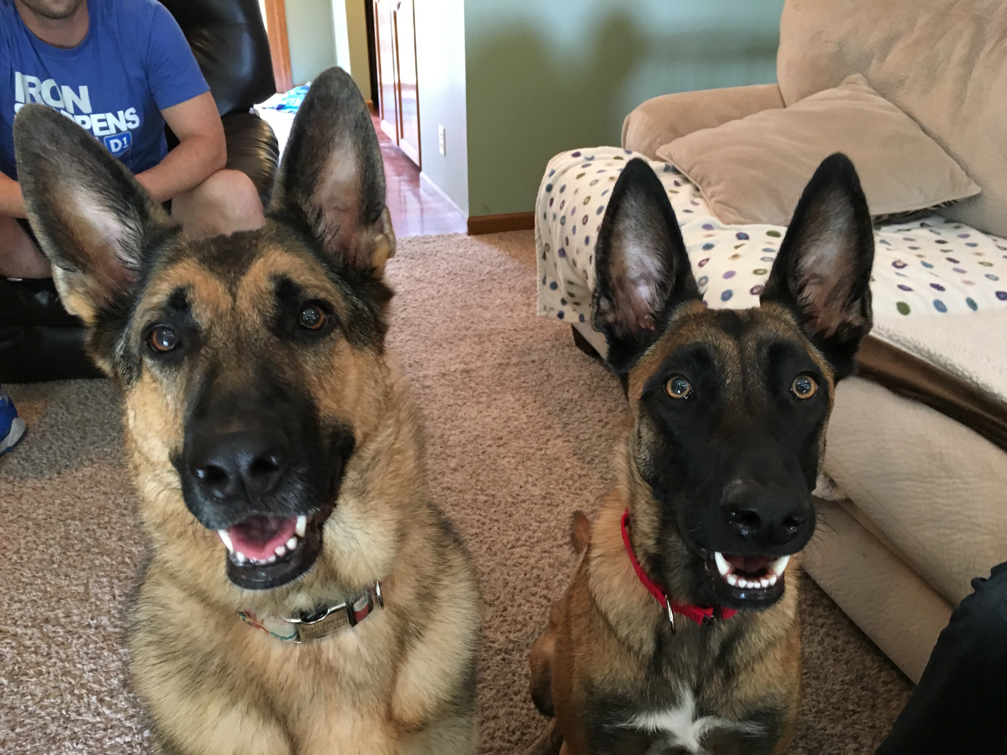 How to train a one year old german shepherd