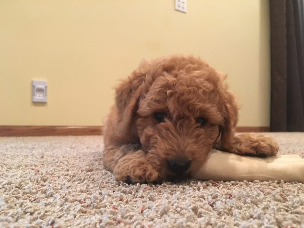 Snoop (Goldendoodle)