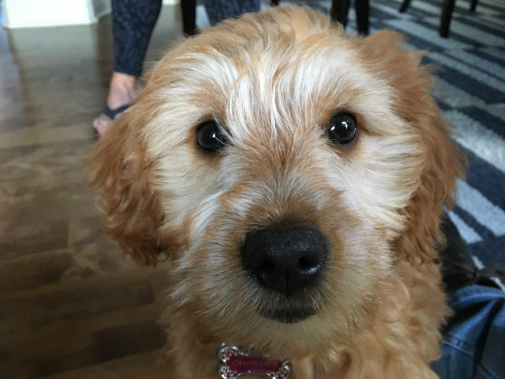 charlie-labradoodle-puppy-waterloo