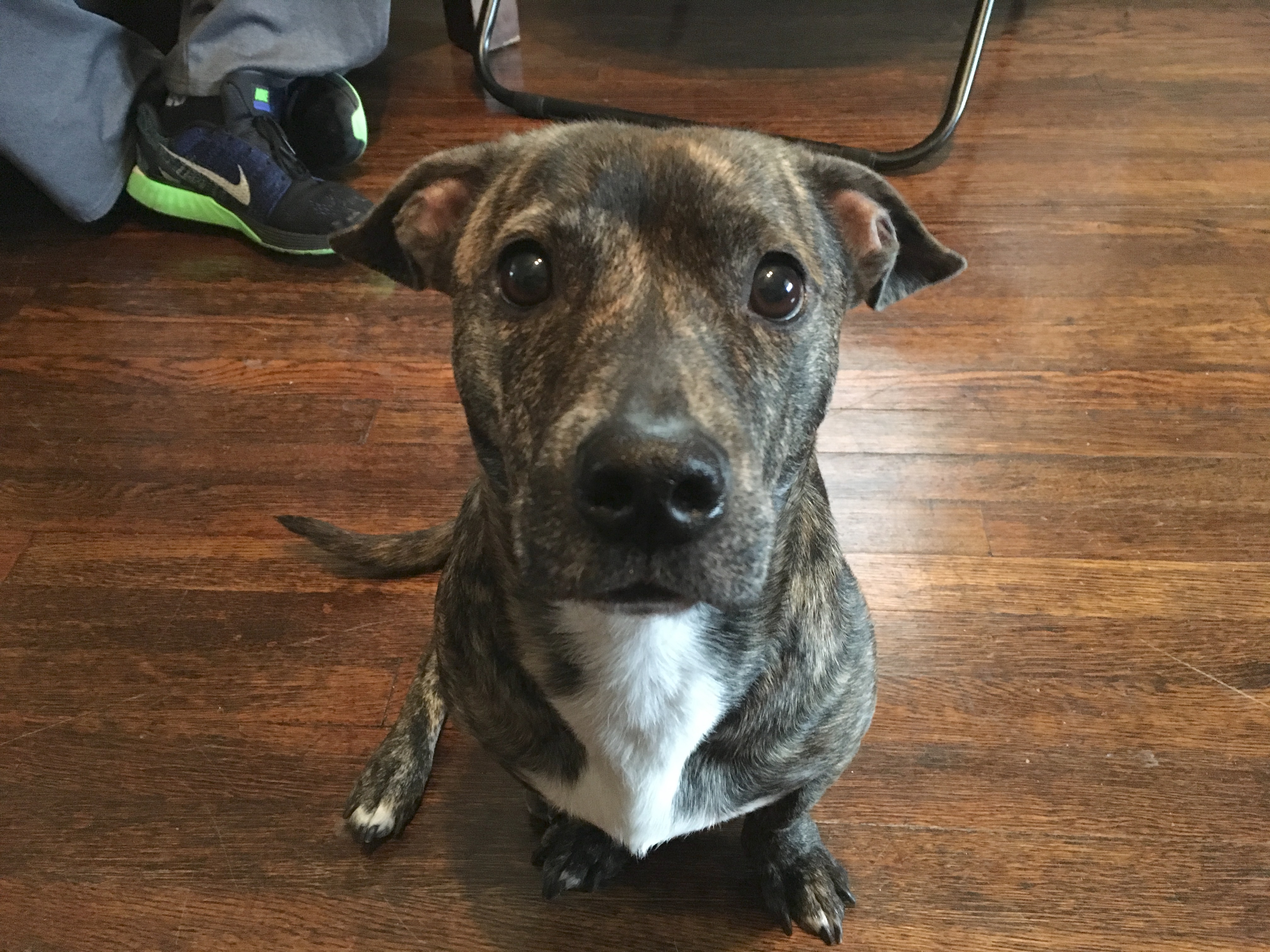 a pit bull mix demonstrates how amazing the breed can be dog gone