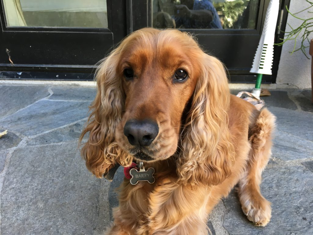 ailey-beverly-hills-cocker-spaniel
