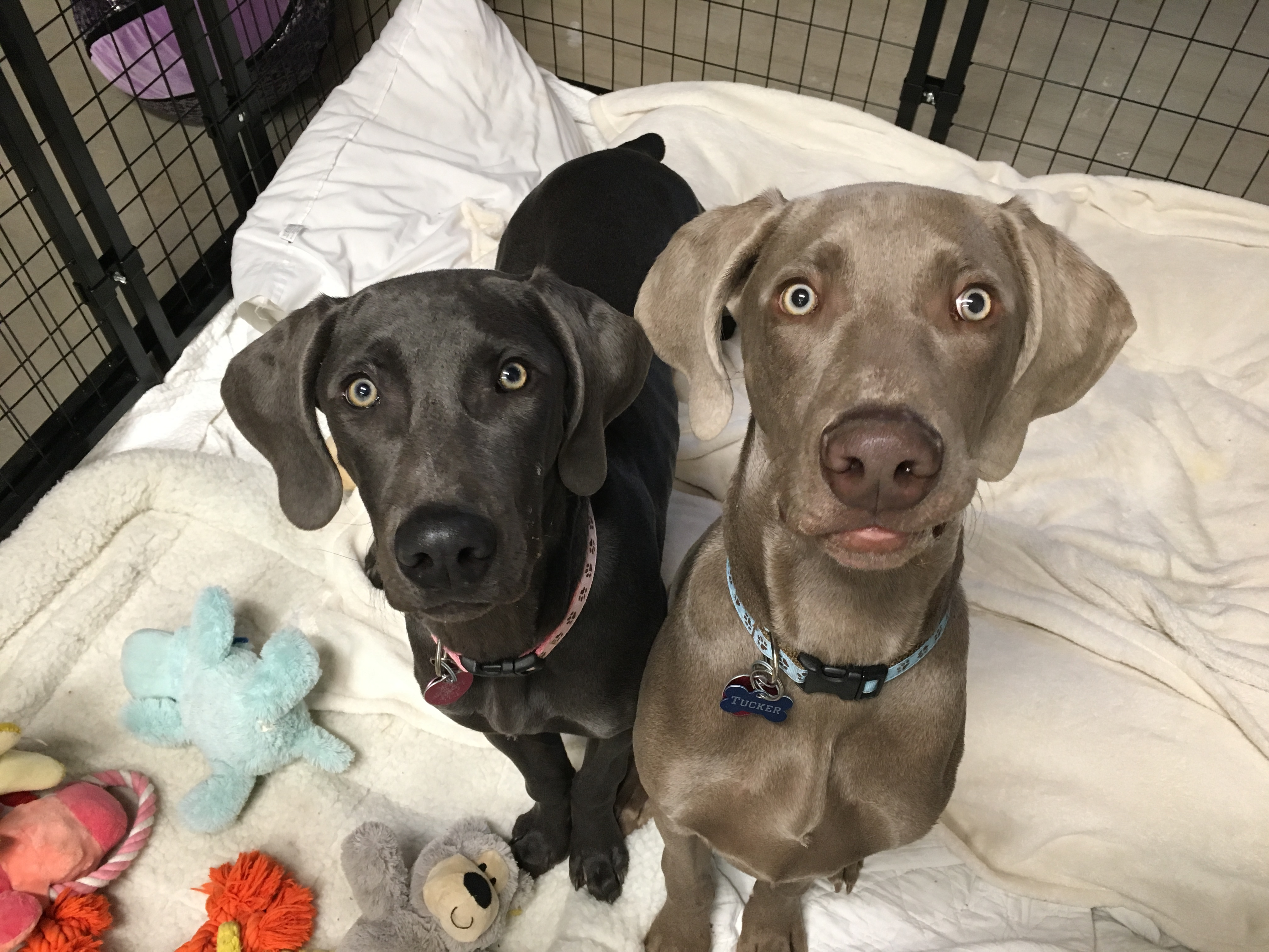 Great Puppy Training Tips Stop A Pair Of Weimaraners From Nipping And Mouthing Dog Gone Problems