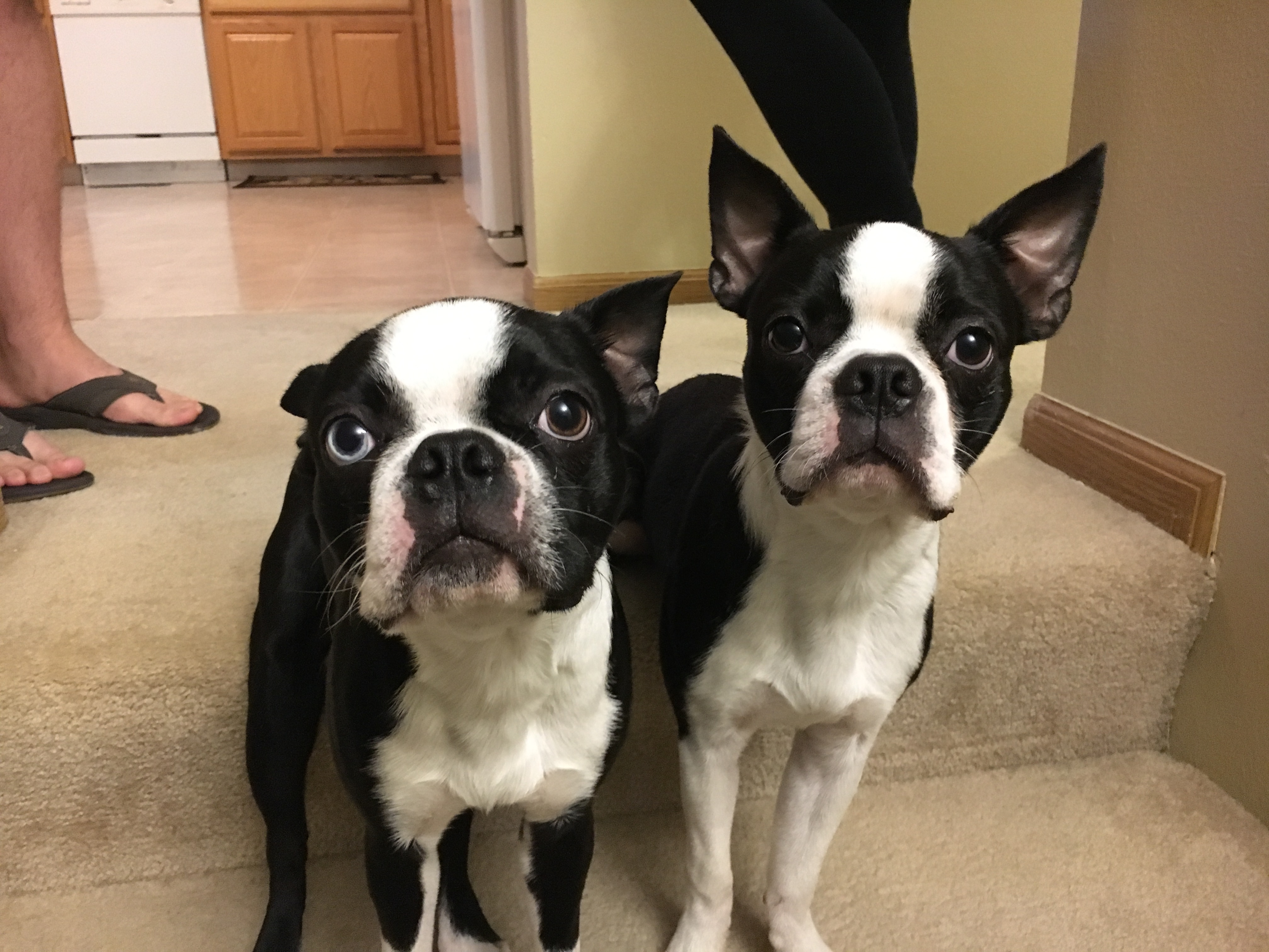 Huck And Bo Are A Pair Of Nine Month Old Boston Terrier Siblings Who Live In West Omaha Their Guardian Scheduled Puppy Obence Training Session With Me