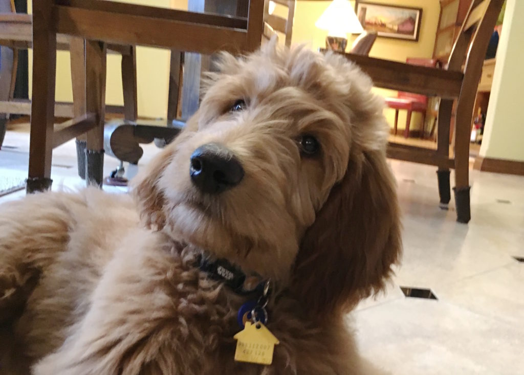 How To Train A Goldendoodle Puppy Basic Commands And Good