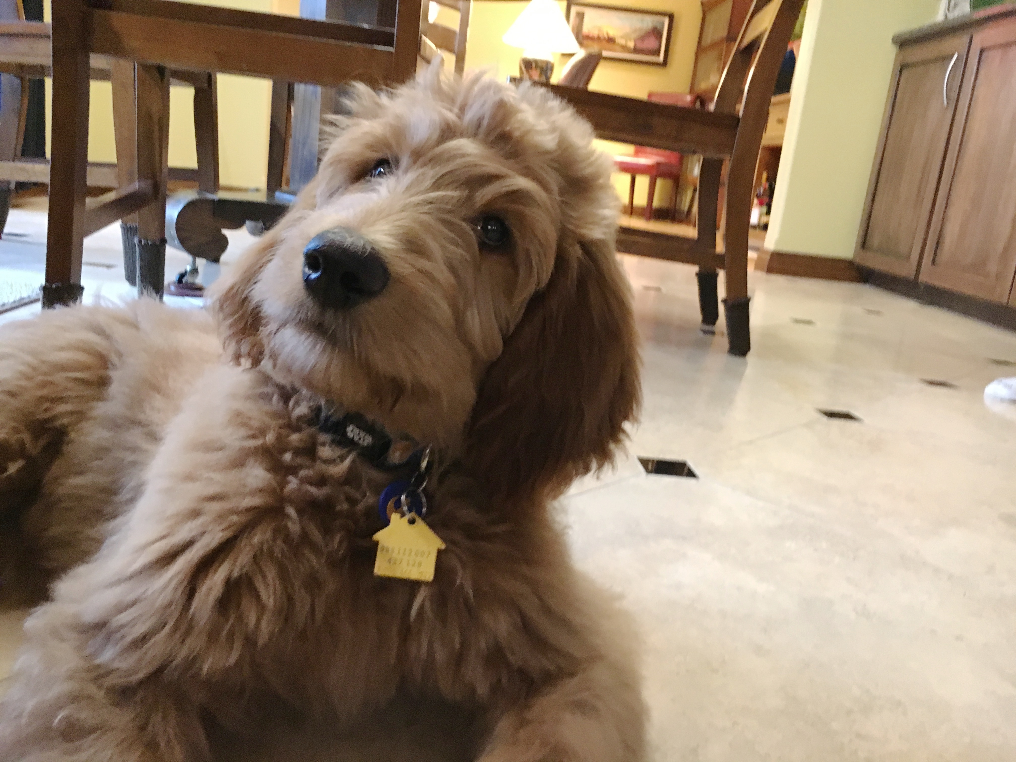 How To Train A Goldendoodle Puppy Basic Commands And Good Behavior Dog Gone Problems