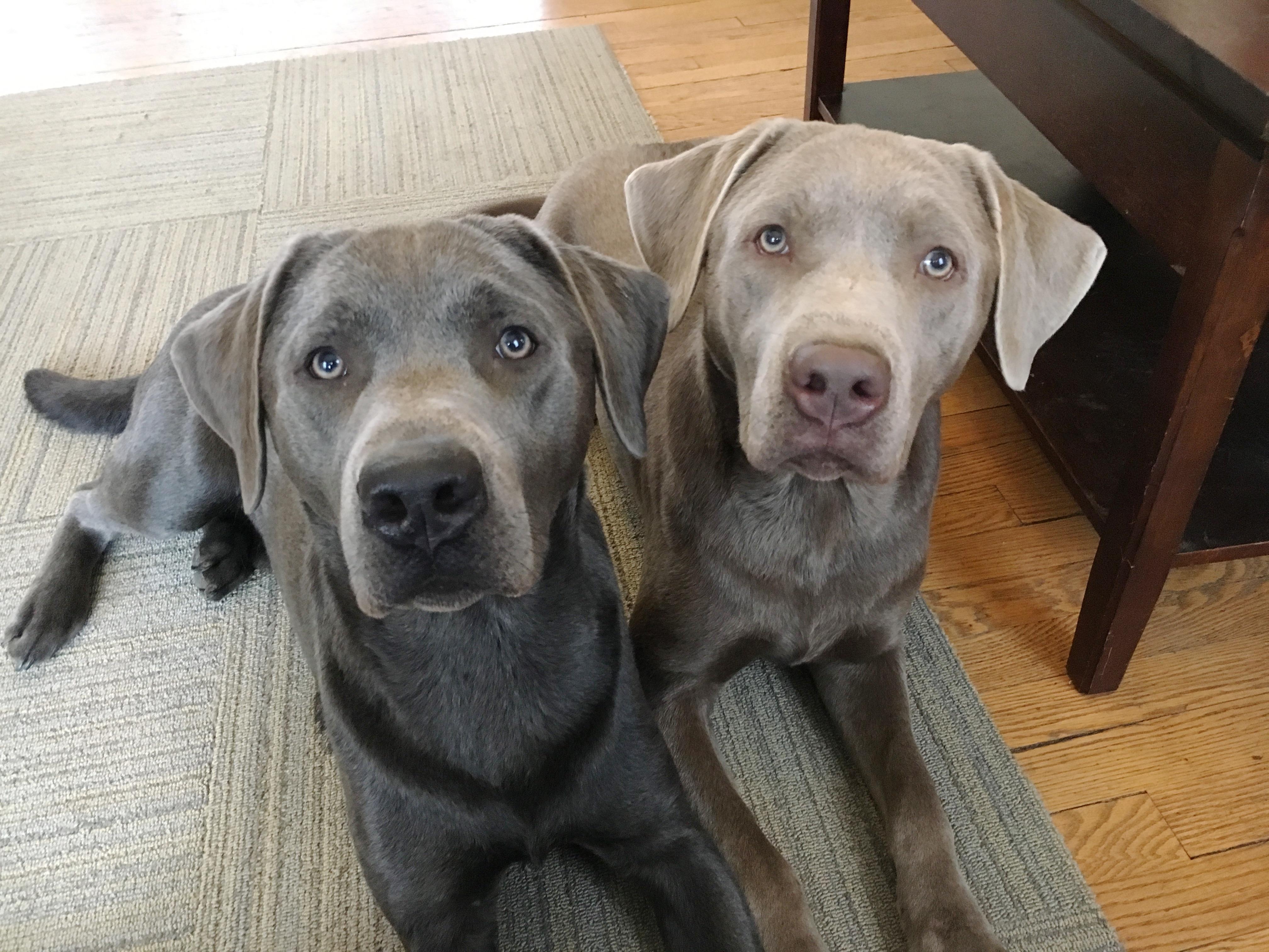 Tips on labrador puppy training
