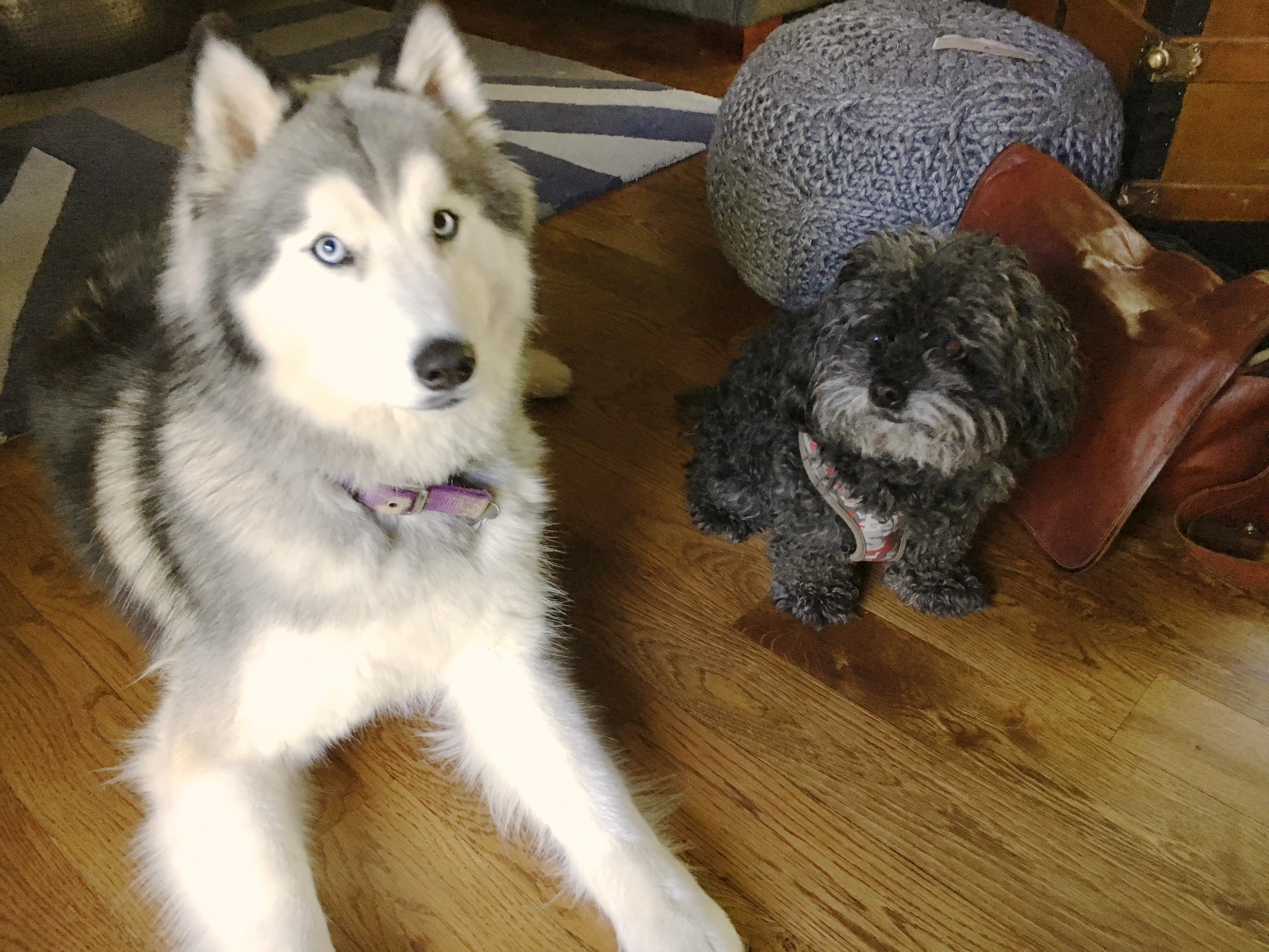 Siberian Husky Poodle Mix