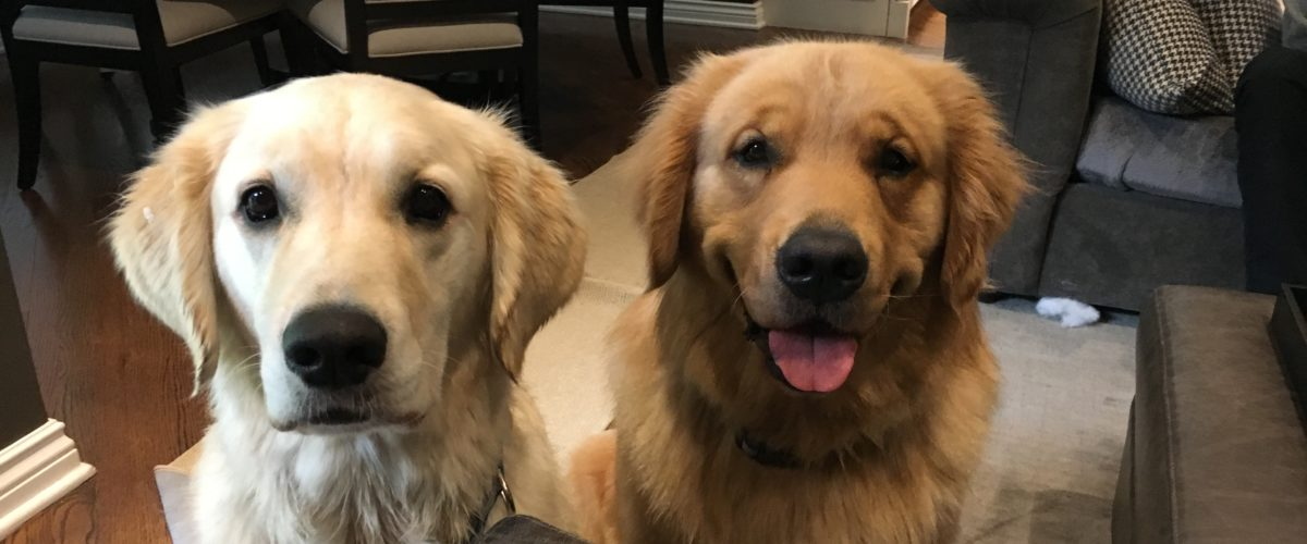 Training Tips Help a Pair of Golden Retrievers Learn to Listen to their Guardians