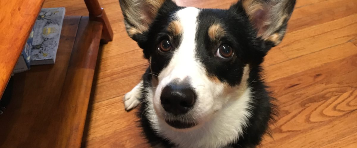 Helping a Dog Reactive Corgi By Teaching it to Focus