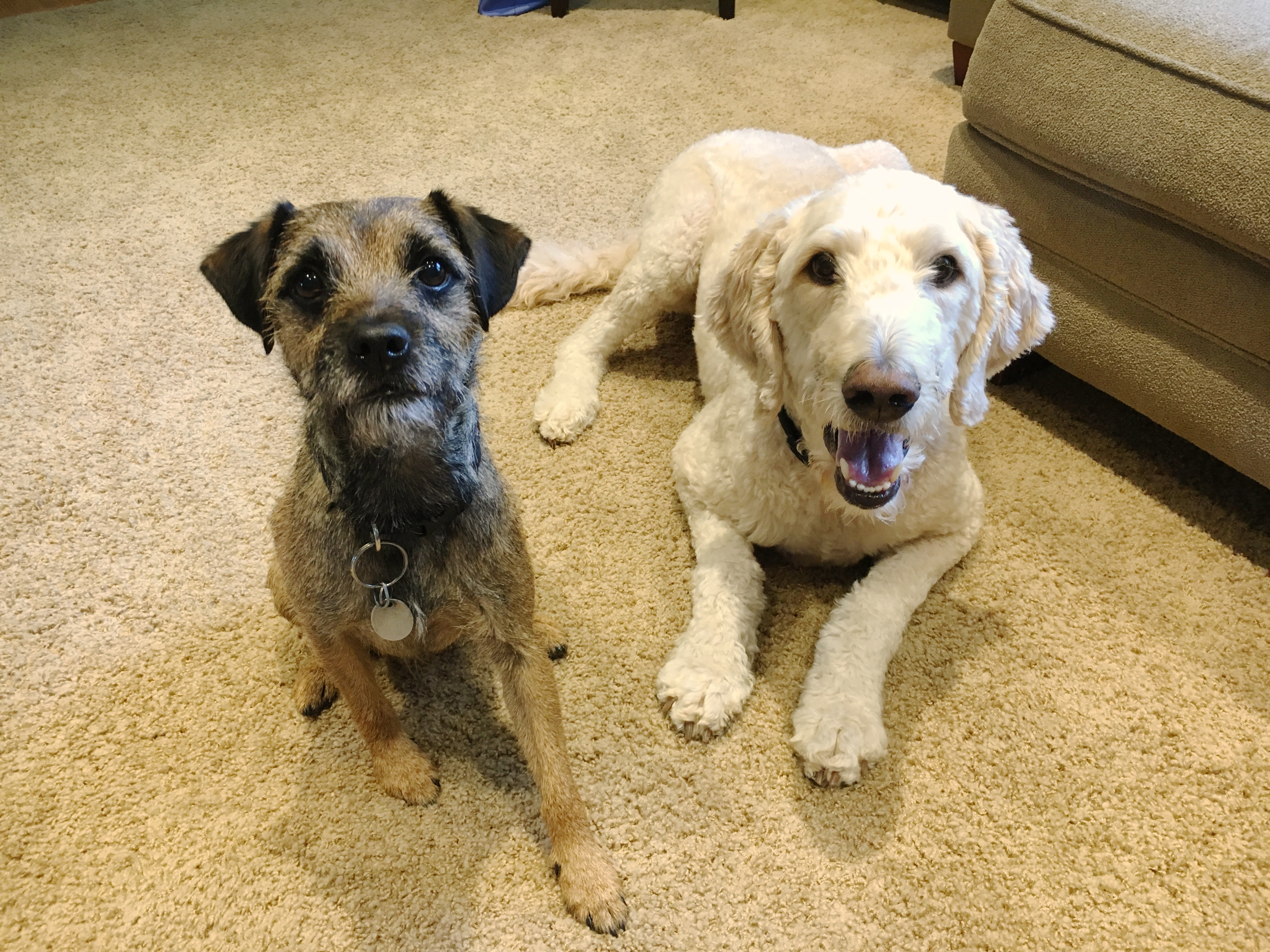 Max is a four-year-old Border Terrier who was recently adopted into a West  Omaha home with Barley cc1d09ddb51