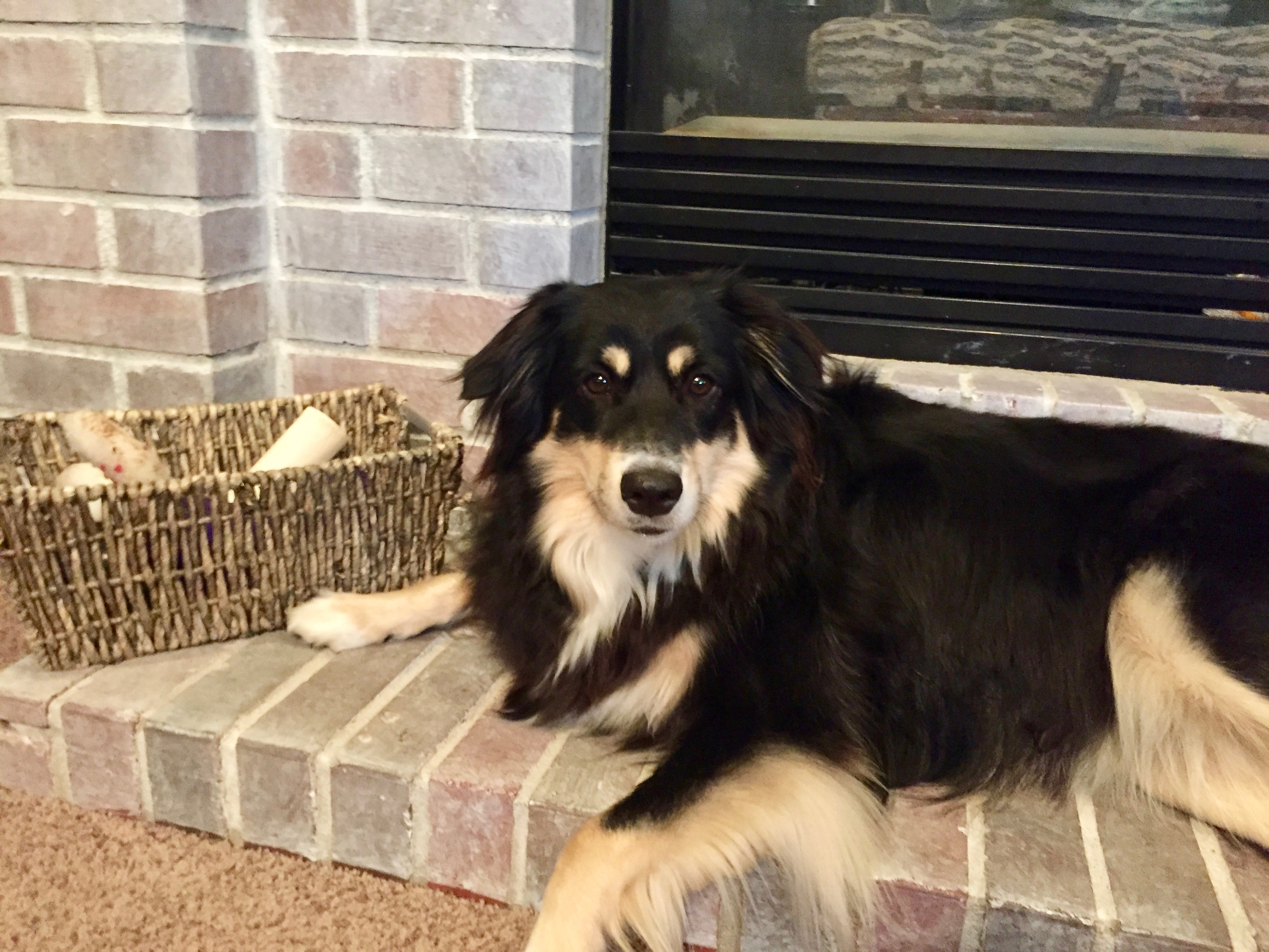 Great Dog Training Tips For The Heel Position With An Australian Shepherd Dog Gone Problems