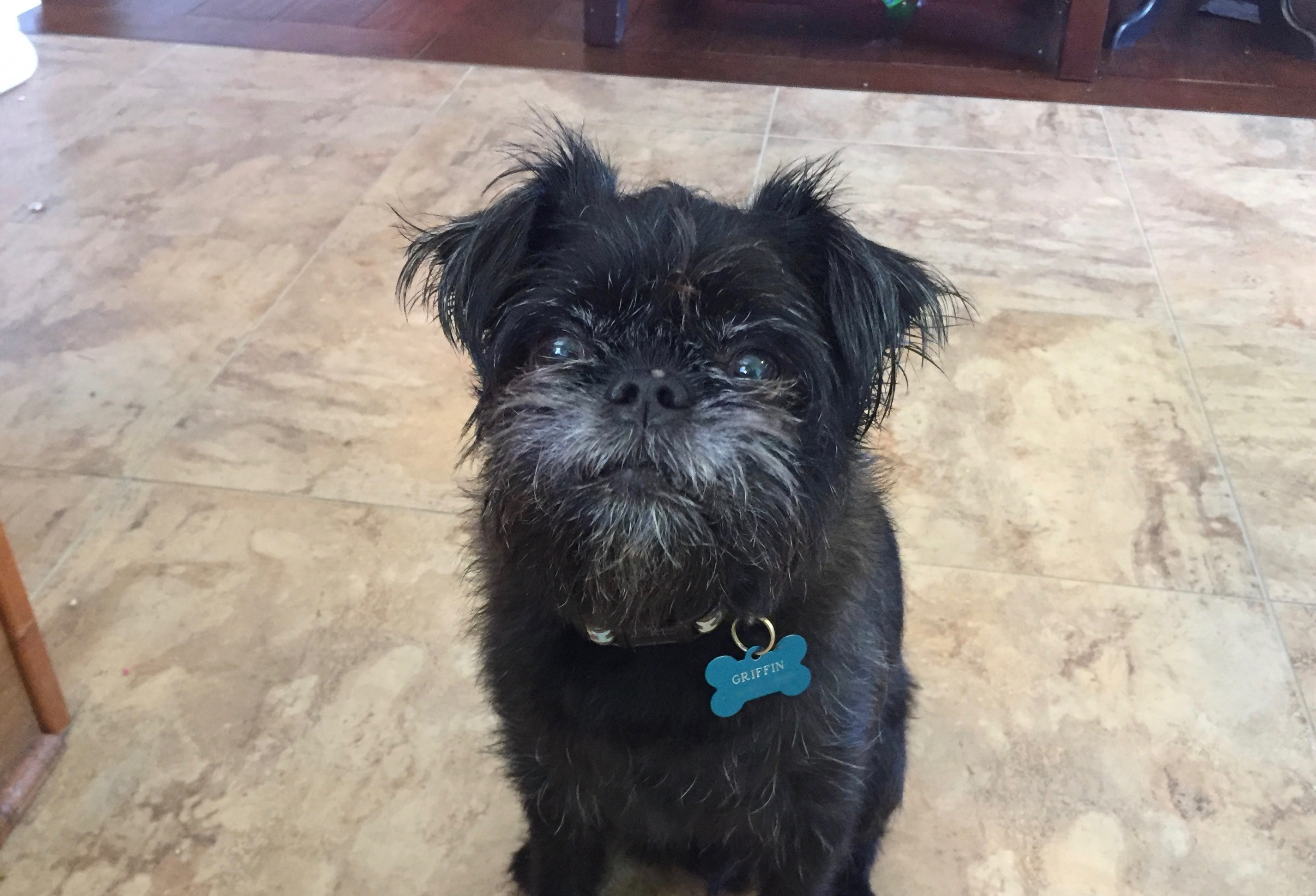 Griffin is a nine-year-old Brussels Griffon who lives in Omaha. His guardian set up this dog behavior training session to train him to stop guarding the ... & Dog Training Tips to Stop a Brussels Griffon From Guarding the Door ...