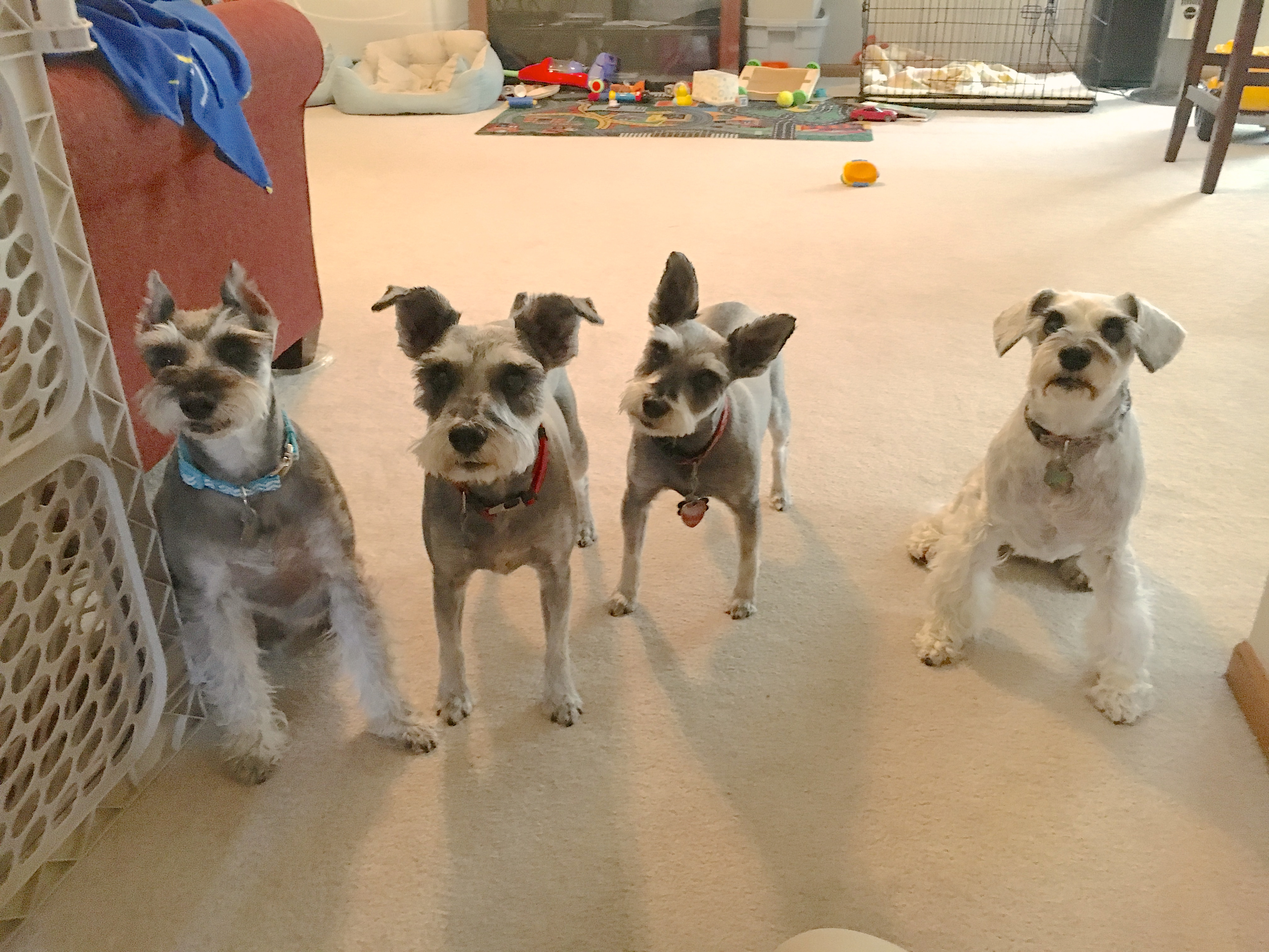 tips to get a miniature schnauzer to stop nipping running children