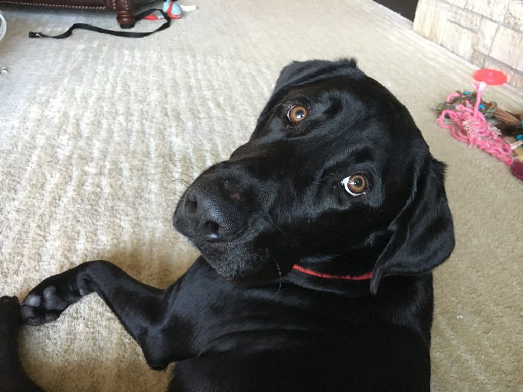 Great Dog Training Tips Help An Excited Black Lab Calm
