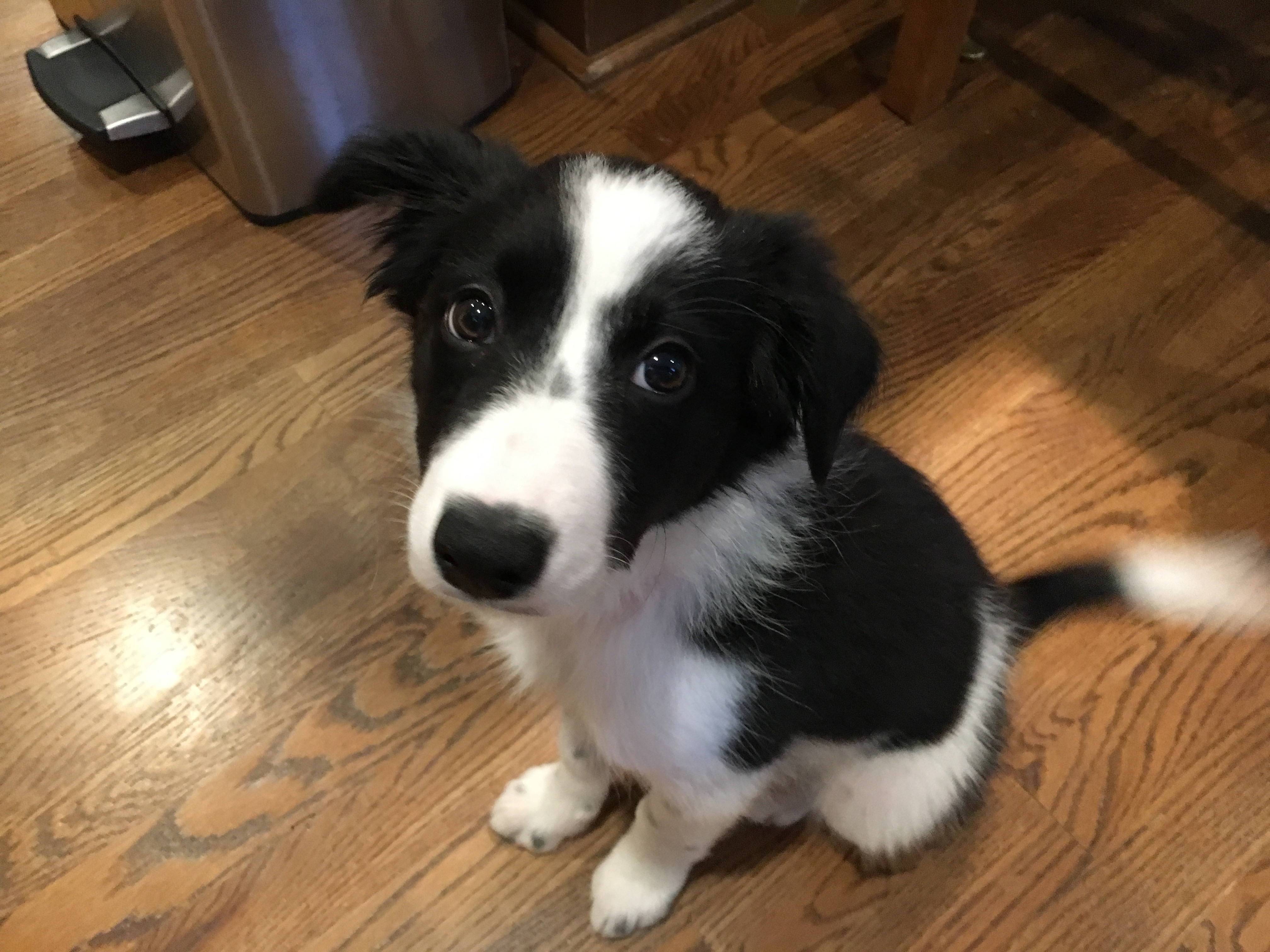 Border Collie Dog Puppy