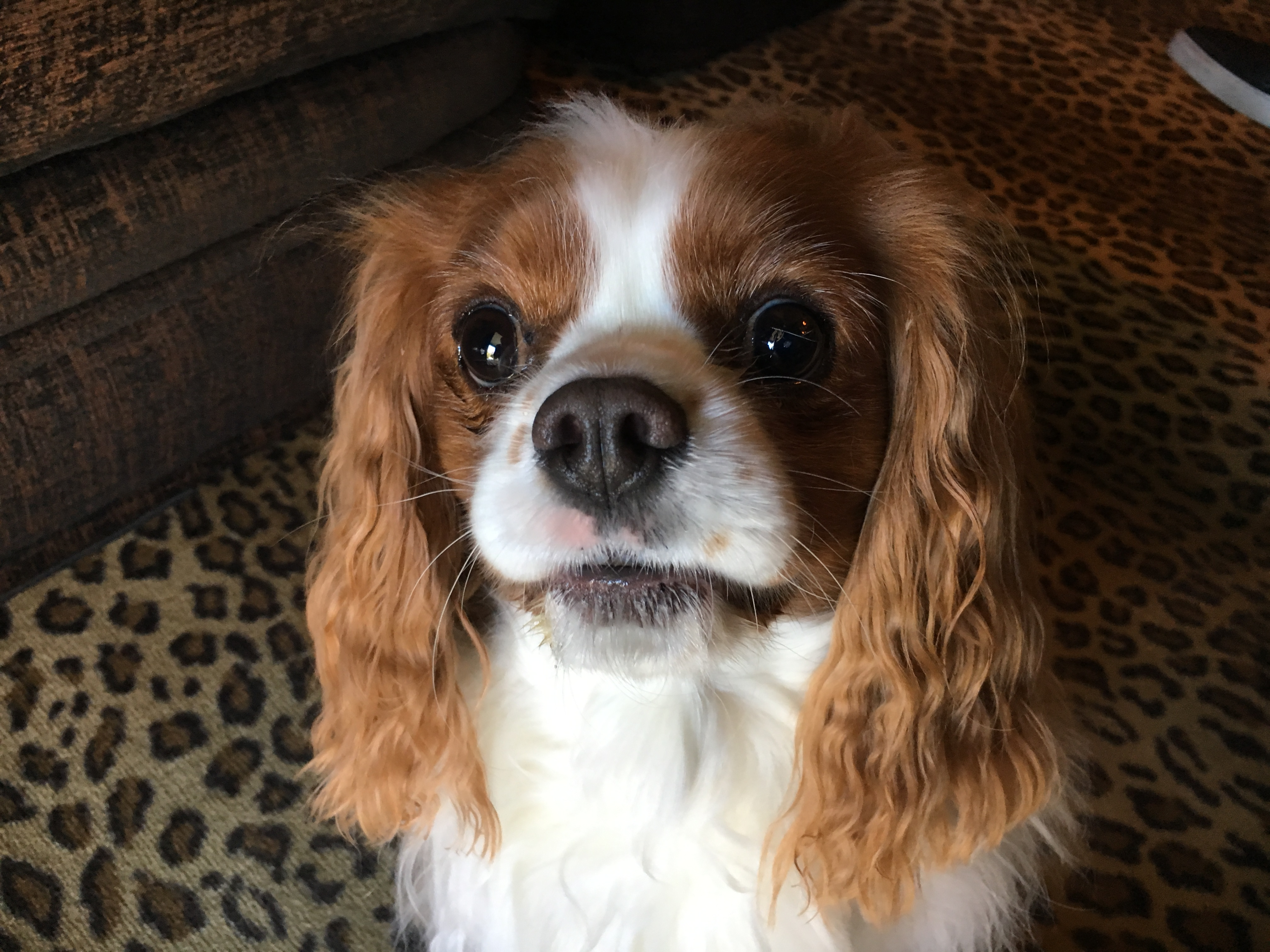 Fantastic Charles Spaniel Brown Adorable Dog - Annabelle-King-Charles  Pictures_285662  .jpg