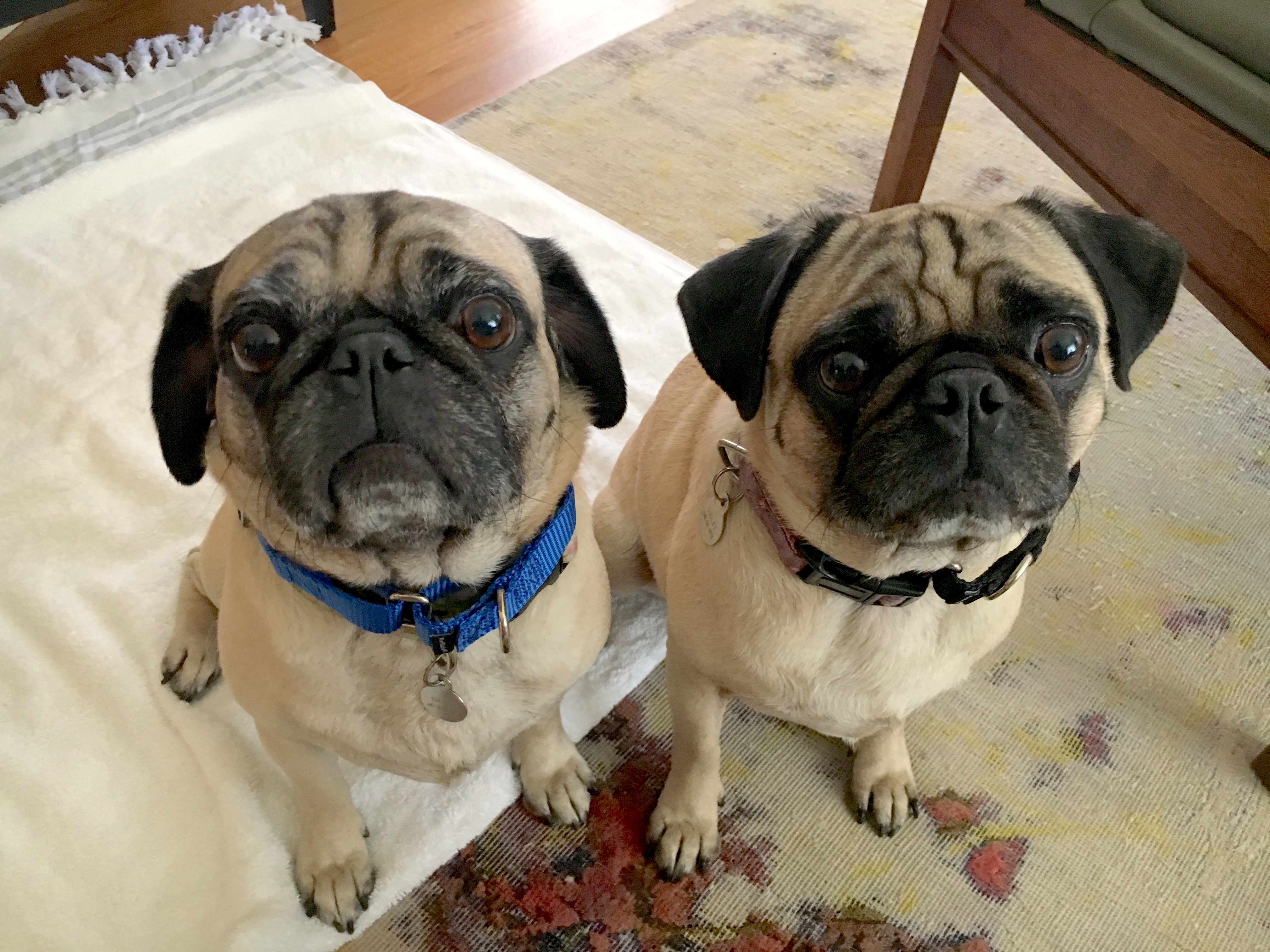 Training A Pair Of Santa Monica Pugs To Focus So They Can Calm Down
