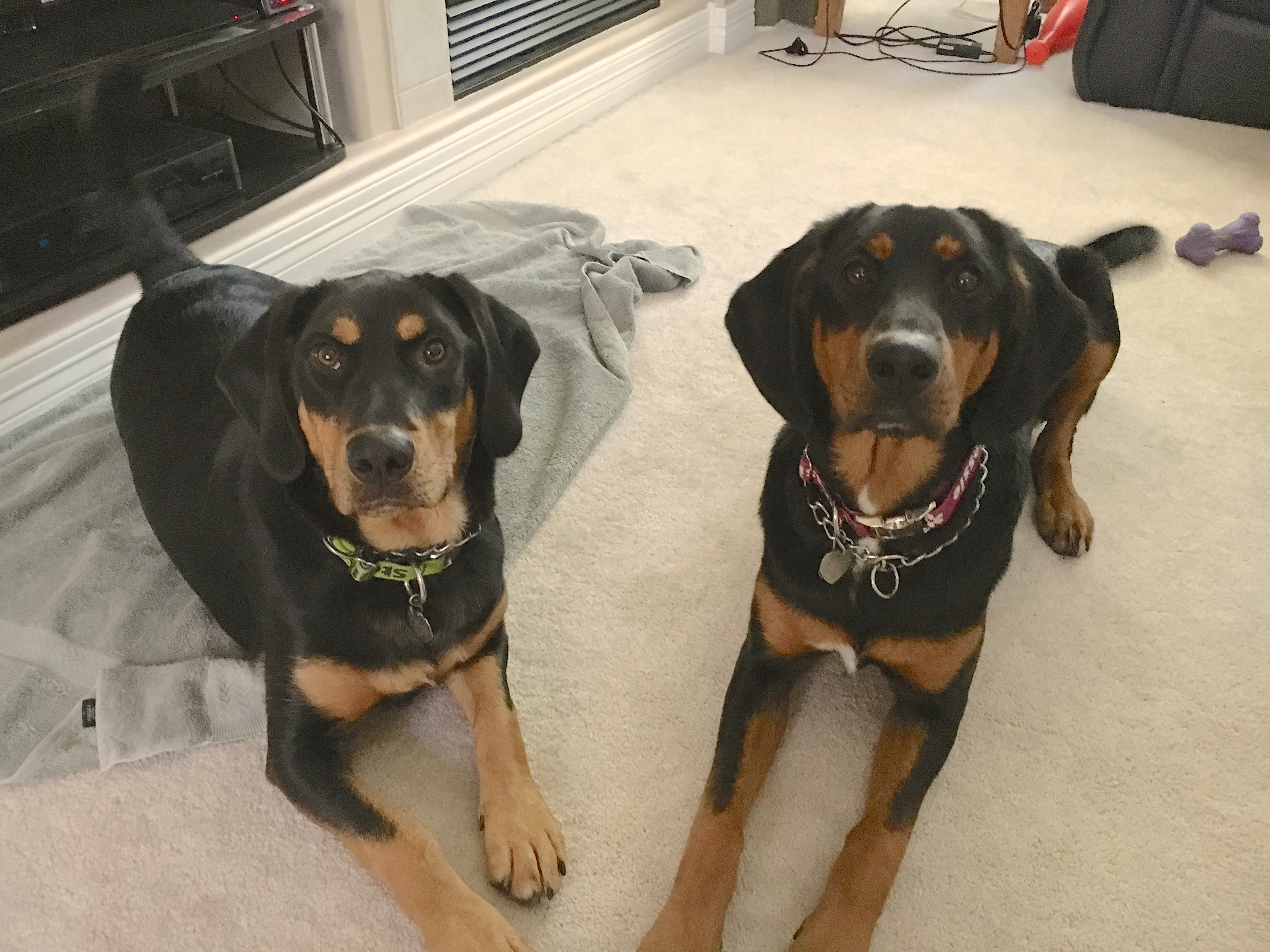 In this Omaha puppy training session we worked with a pair of 9 month-old Redbone Coonhounds named Stella (left) and Jessie on their door behavior as they ... & Teaching a Pair of Puppies Control to Correct Their Door Behavior ...