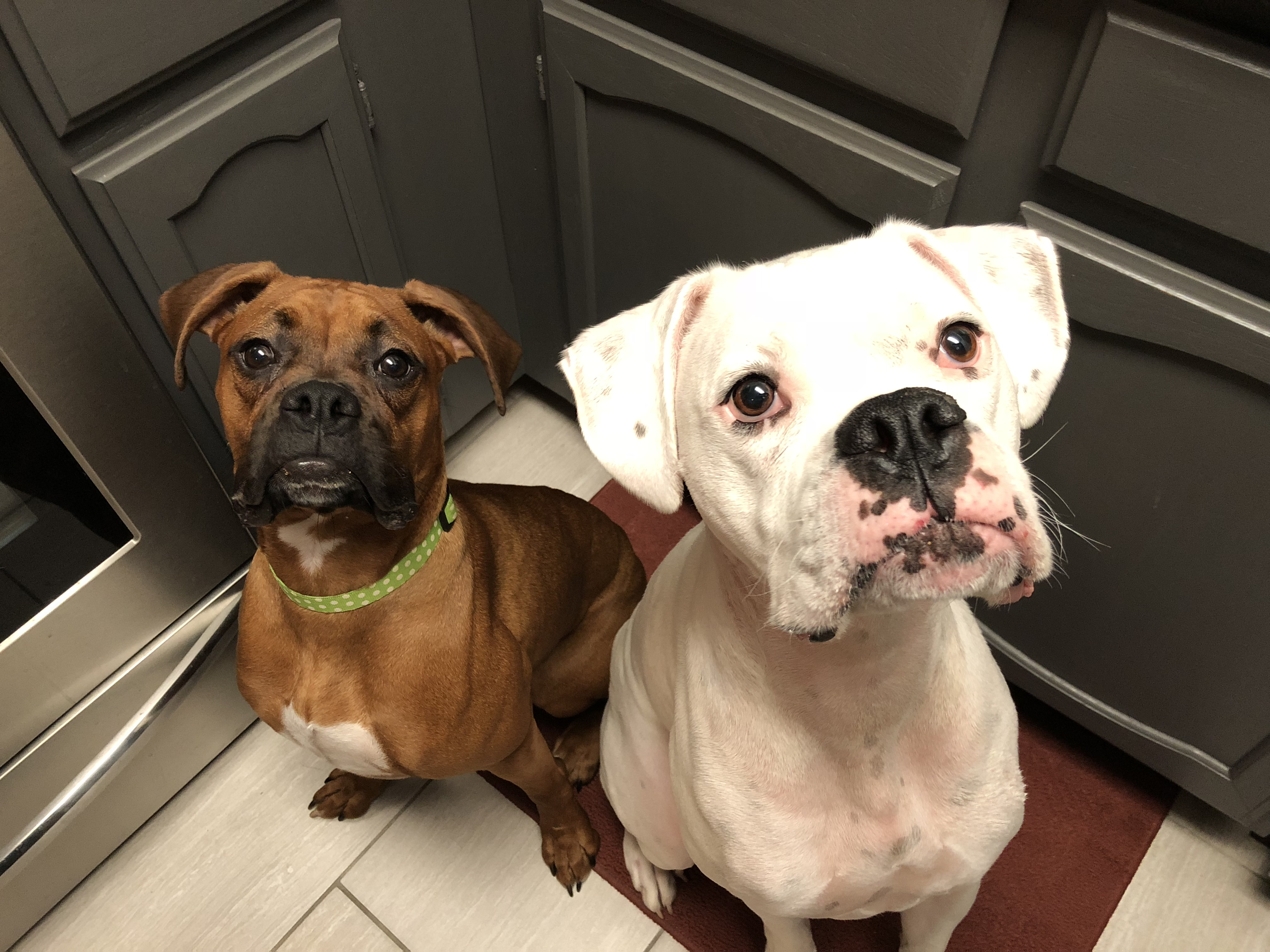 Watch How to Train a Boxer Dog video