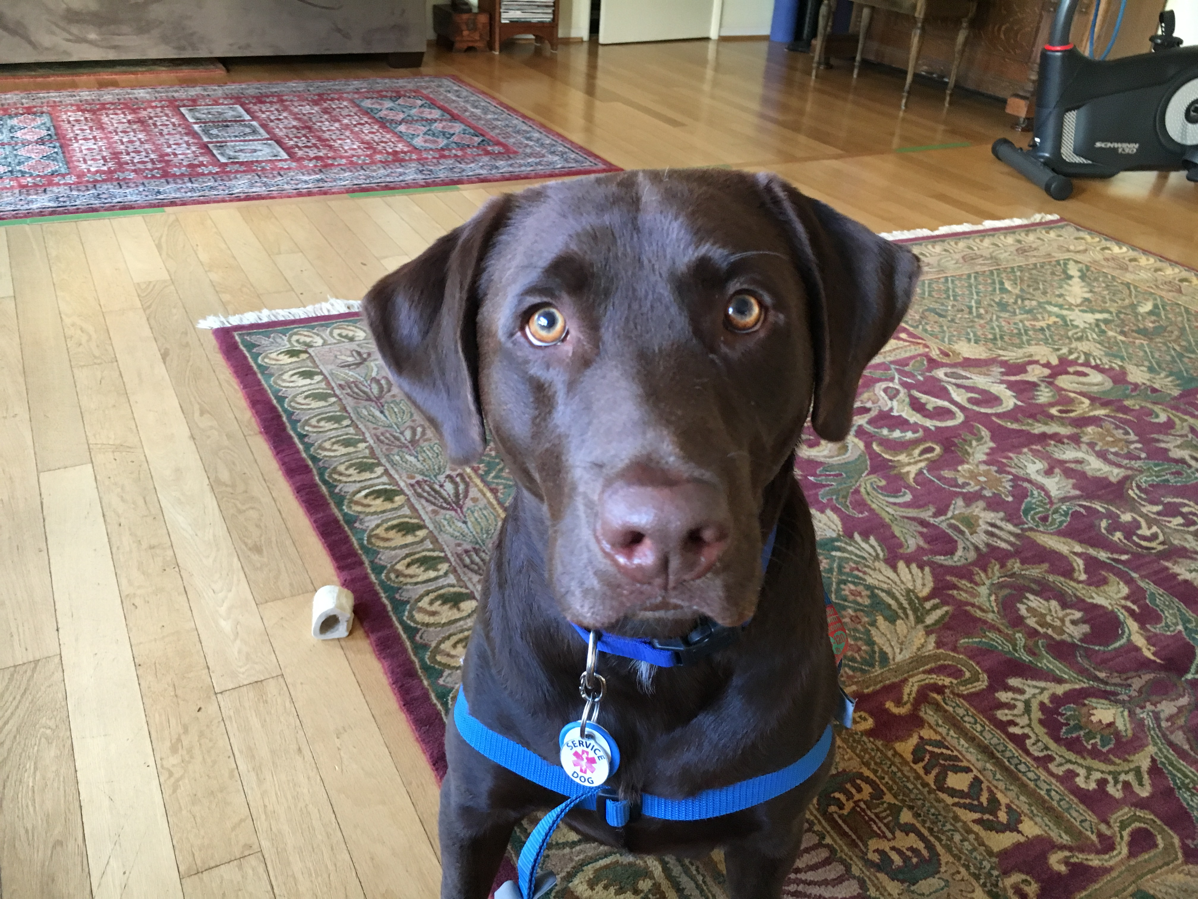 Training A Santa Monica Lab To Stop Reacting To Dogs When On Leash - Dog passes owner returns 2 years
