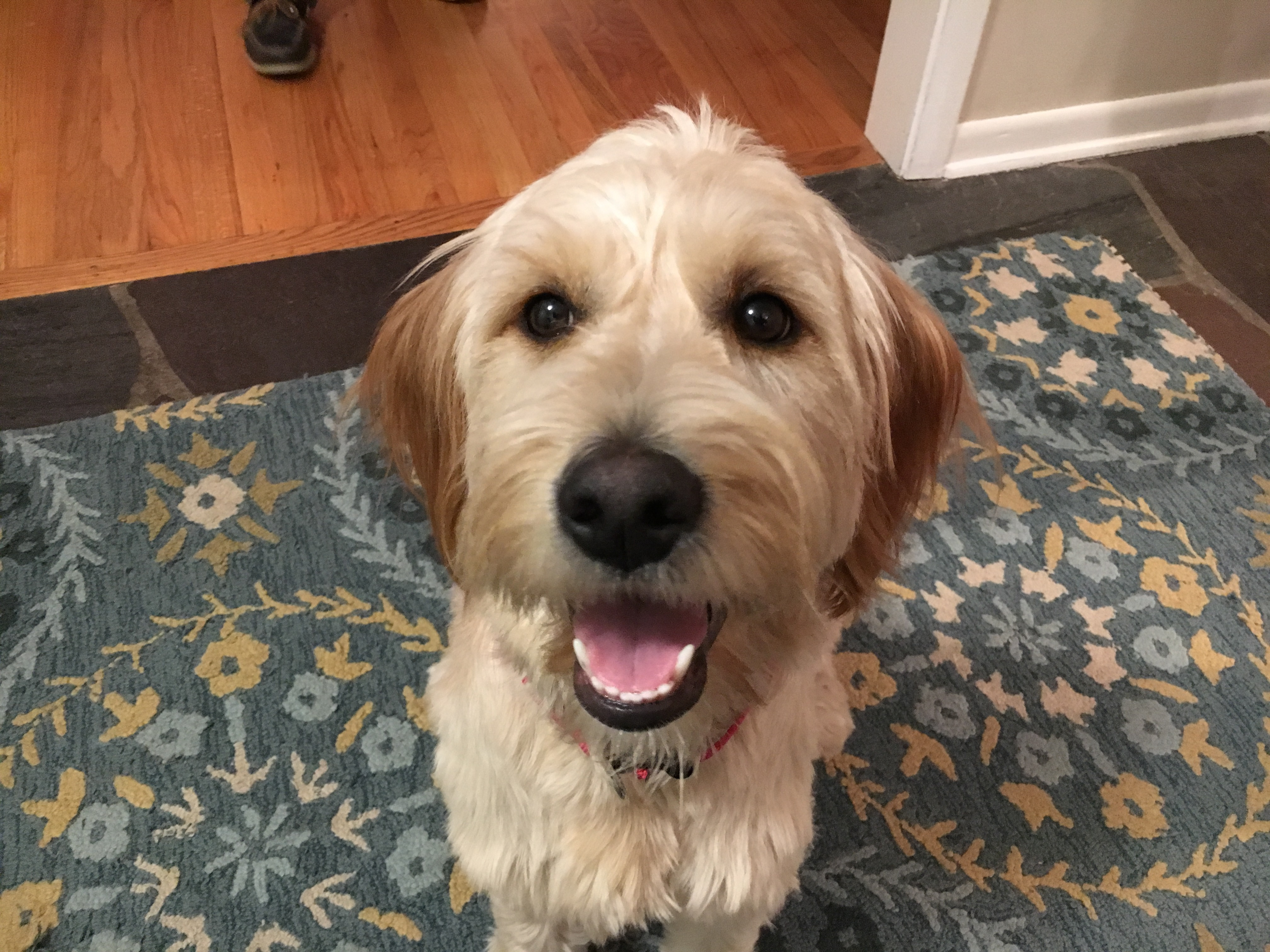 Training A Goldendoodle To Come When Called