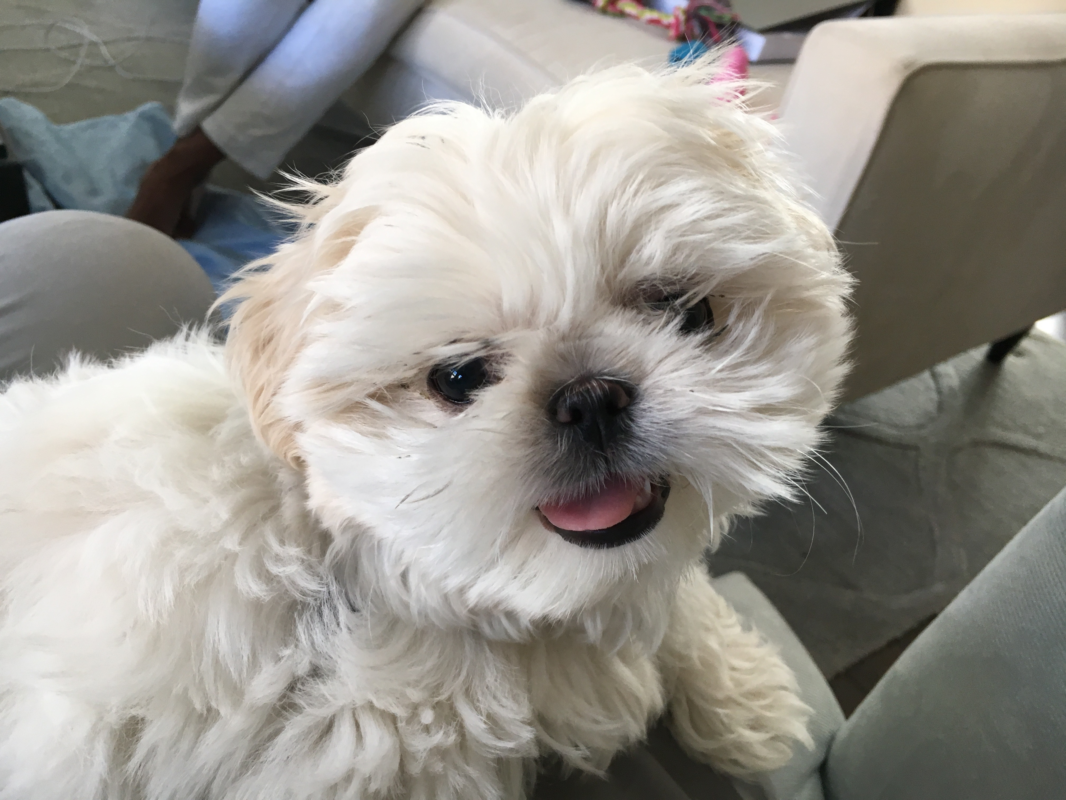 Teaching A Shih Tzu Puppy To Love His Kennel Dog Gone Problems