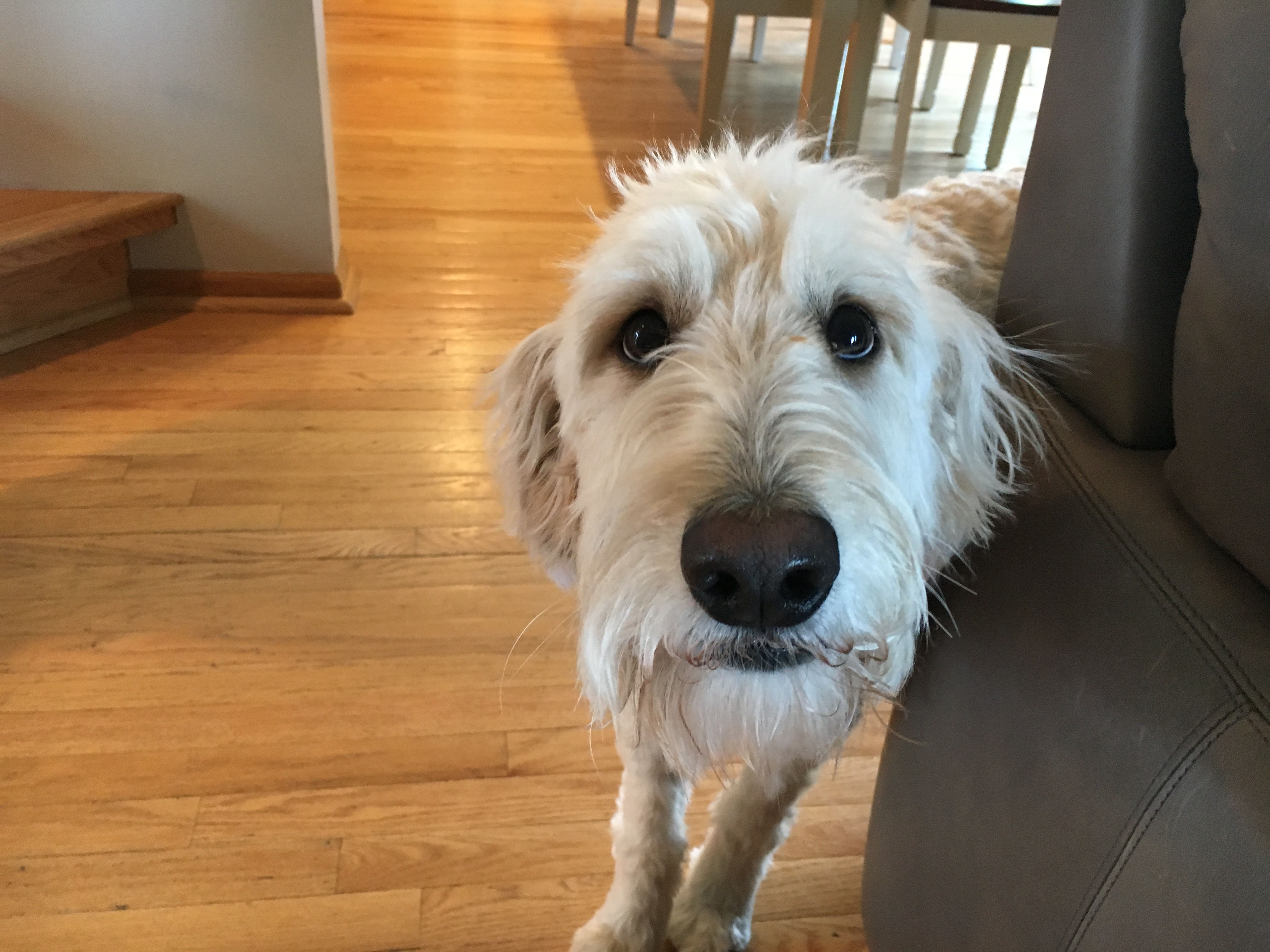 Teaching an Excited Goldendoodle to Not Jump on People: Dog Gone