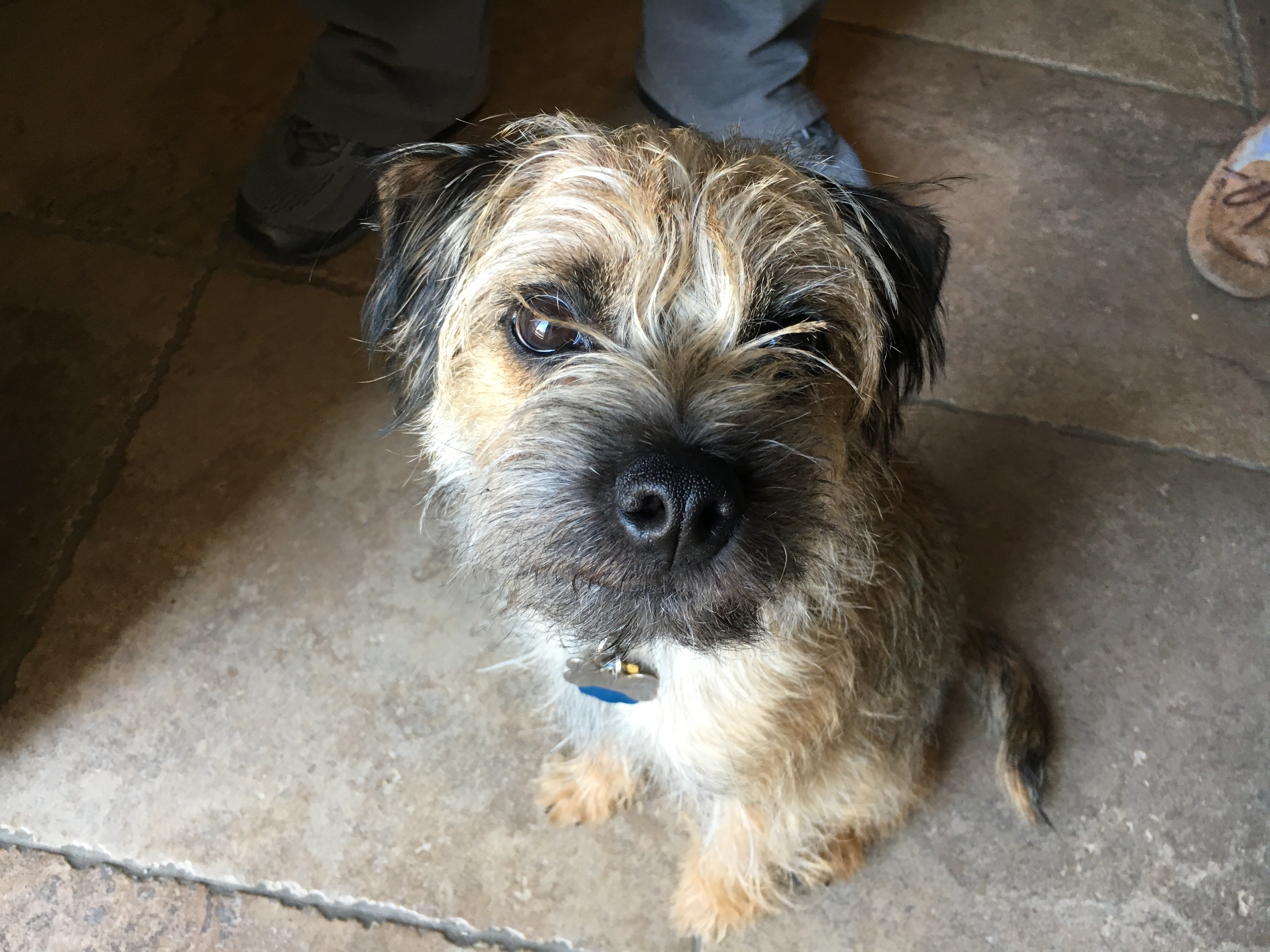 Tips To Stop An Excitable Border Terrier From Jumping On People Dog