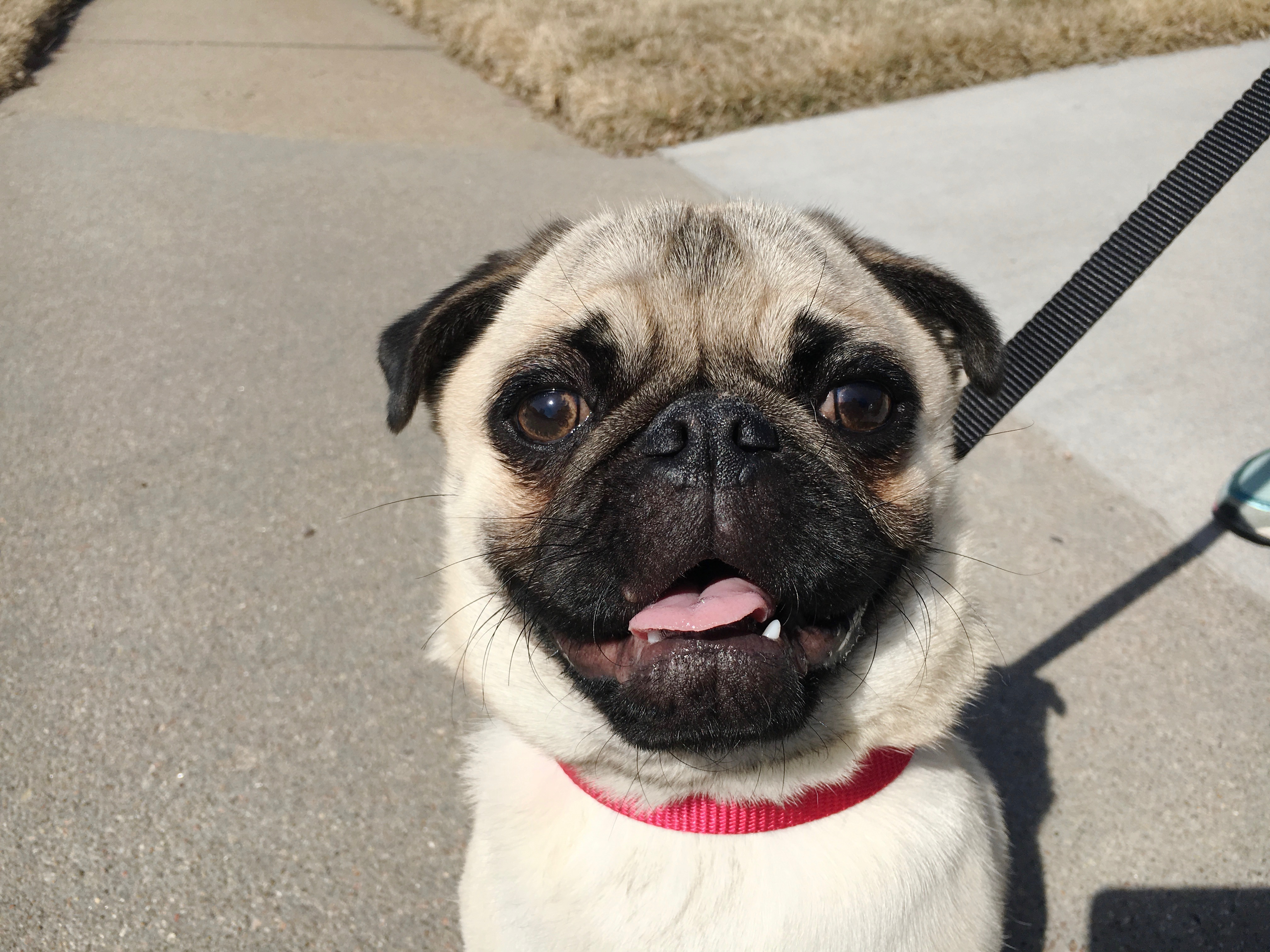 Helping A Pug Puppy Behave Better On Walks Dog Gone Problems