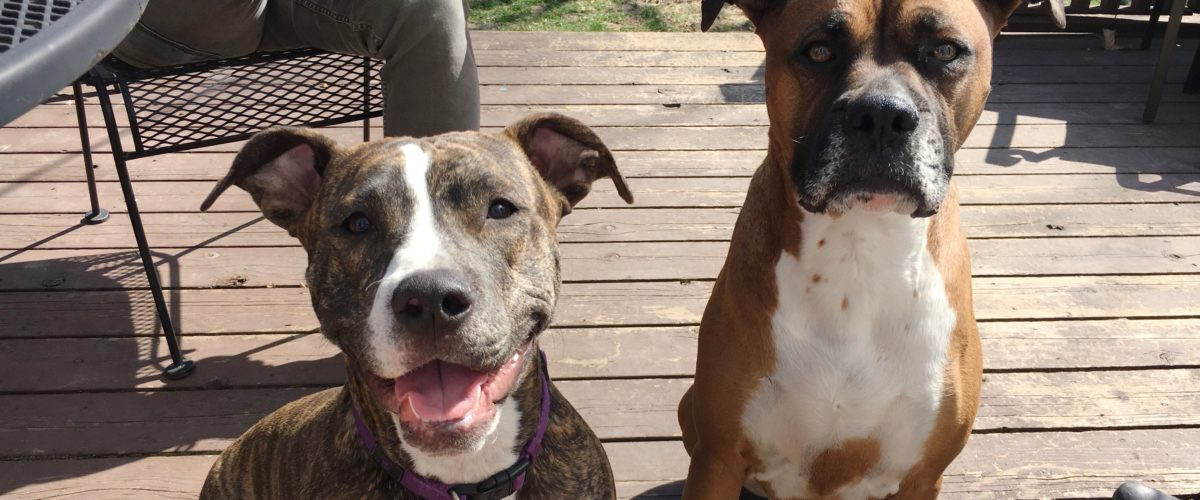 Some Loose Leash Walking Tips Help a Pair of Midtown Dogs