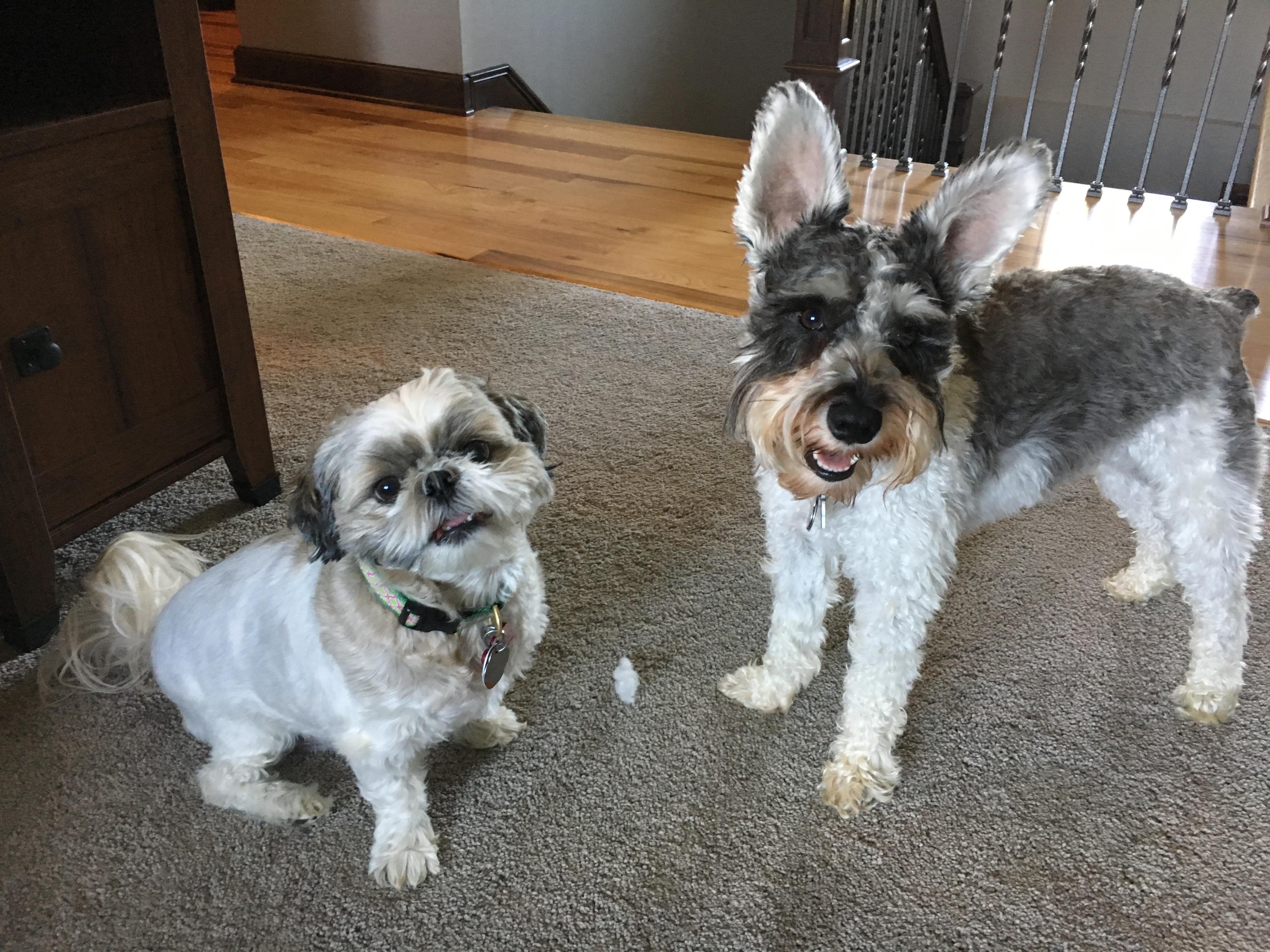 Tips To Stop A Mini Schnauzer From Barking Dog Gone Problems
