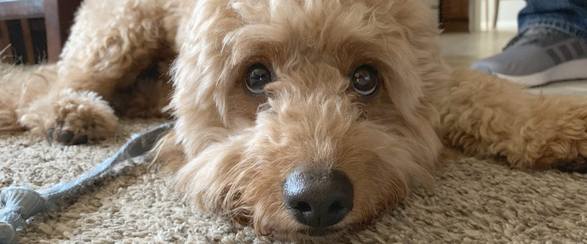 Teaching a Mini Goldendoodle to Stop Resource Guarding a Blanket