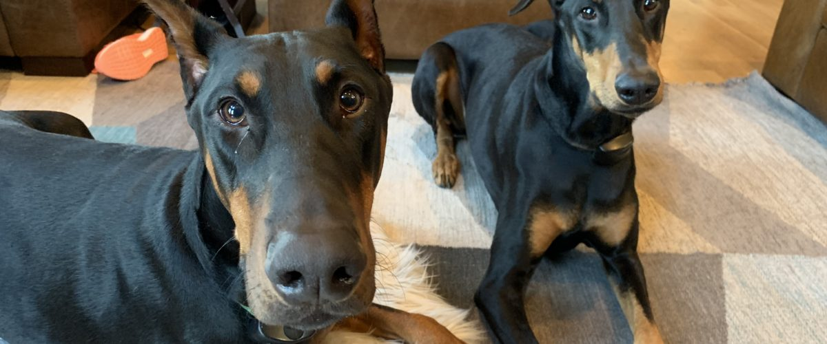 Teaching a Paid of Dobermans to Stay Behind an Invisible Line When Guests Knock at the Door