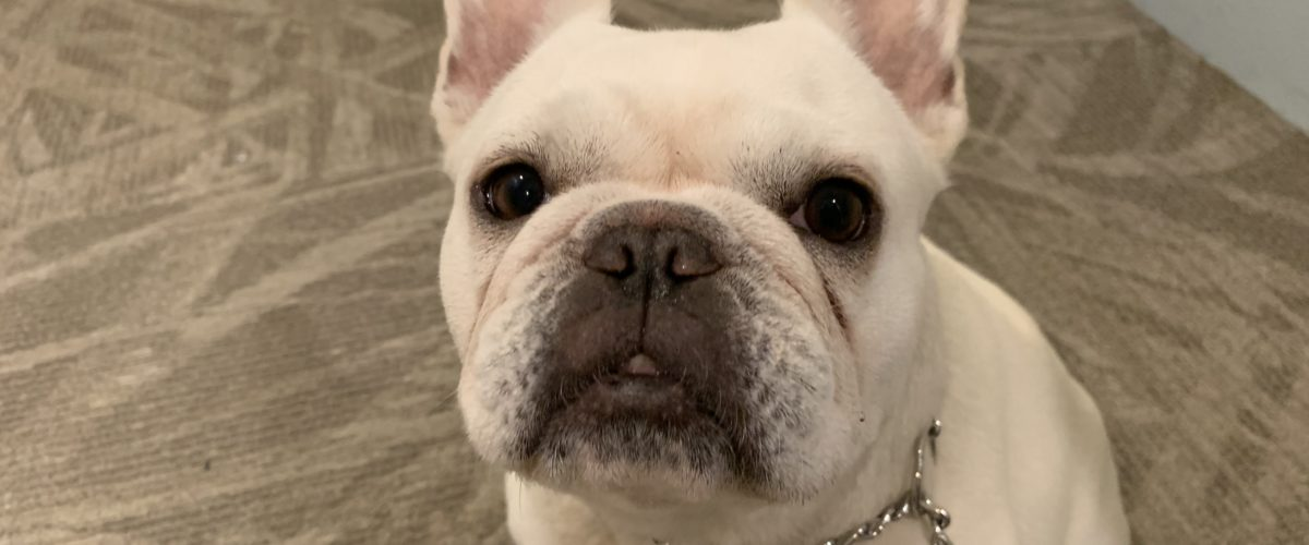 Teaching a Santa Monica French Bulldog to Focus on His Guardian Instead of Acting Aggressive to Other dogs
