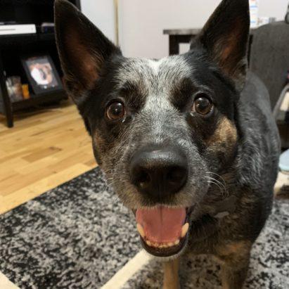 Blue Heeler Dog Gone Problems